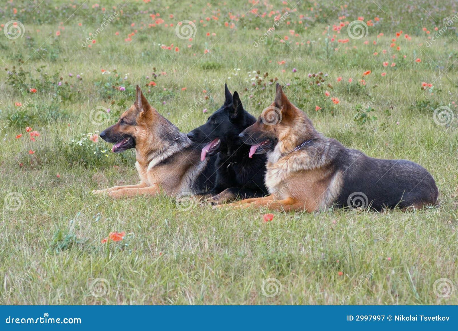 Drei legende Schäferhunde