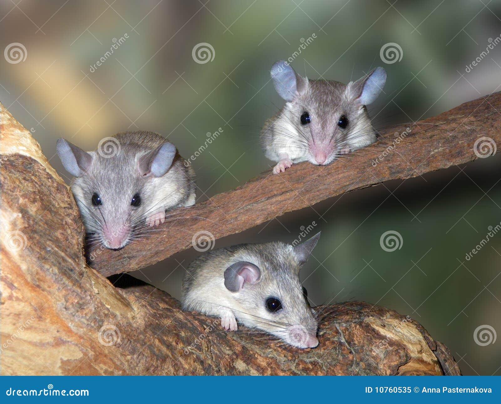 Drei Mäuse stockbild. Bild von pelz, haustier, grau, mäuse - 10760535
