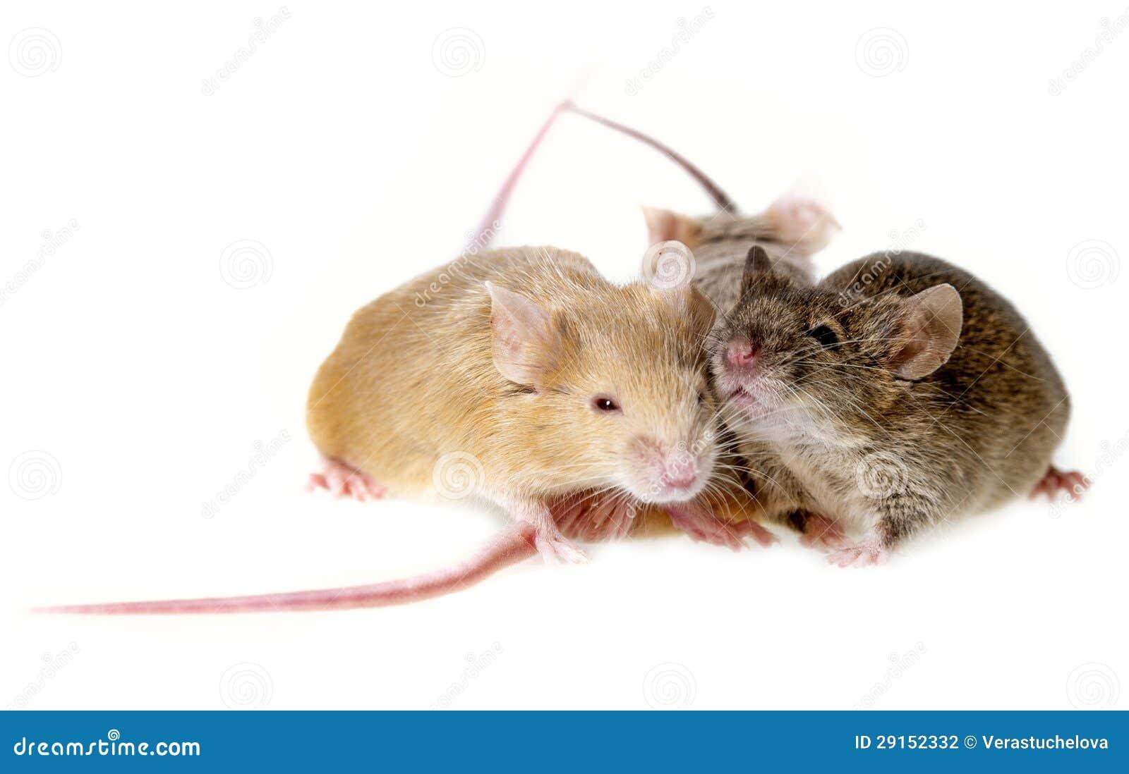 Drei Mäuse stockfoto. Bild von tier, mäuse, inländisch - 29152332