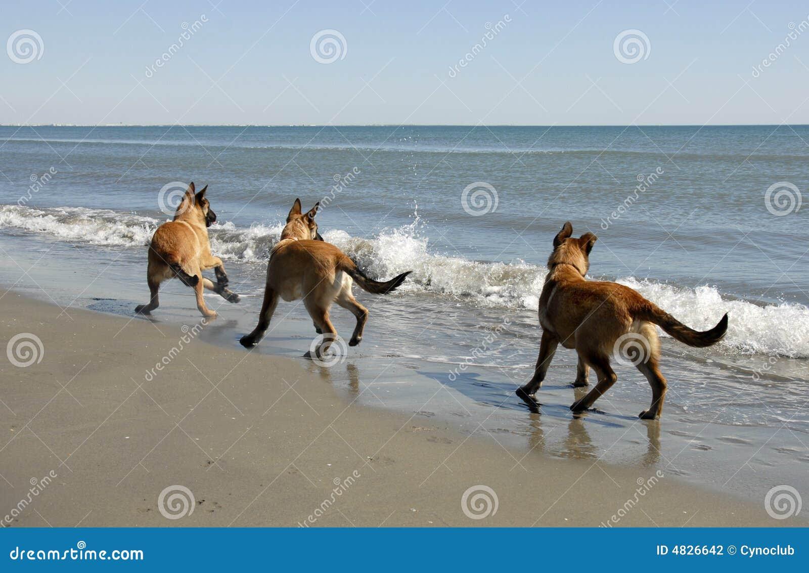 Drei malinois und das Meer
