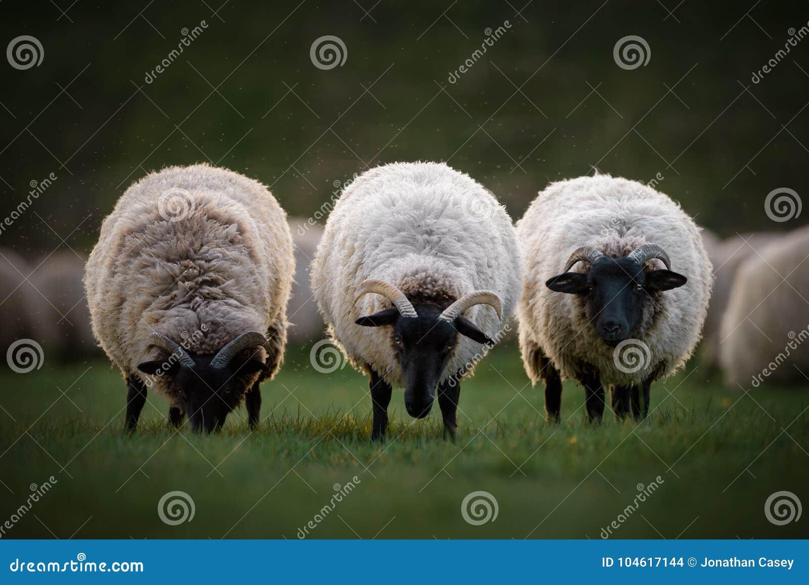 Drei Norfolk-Horn-Schafe