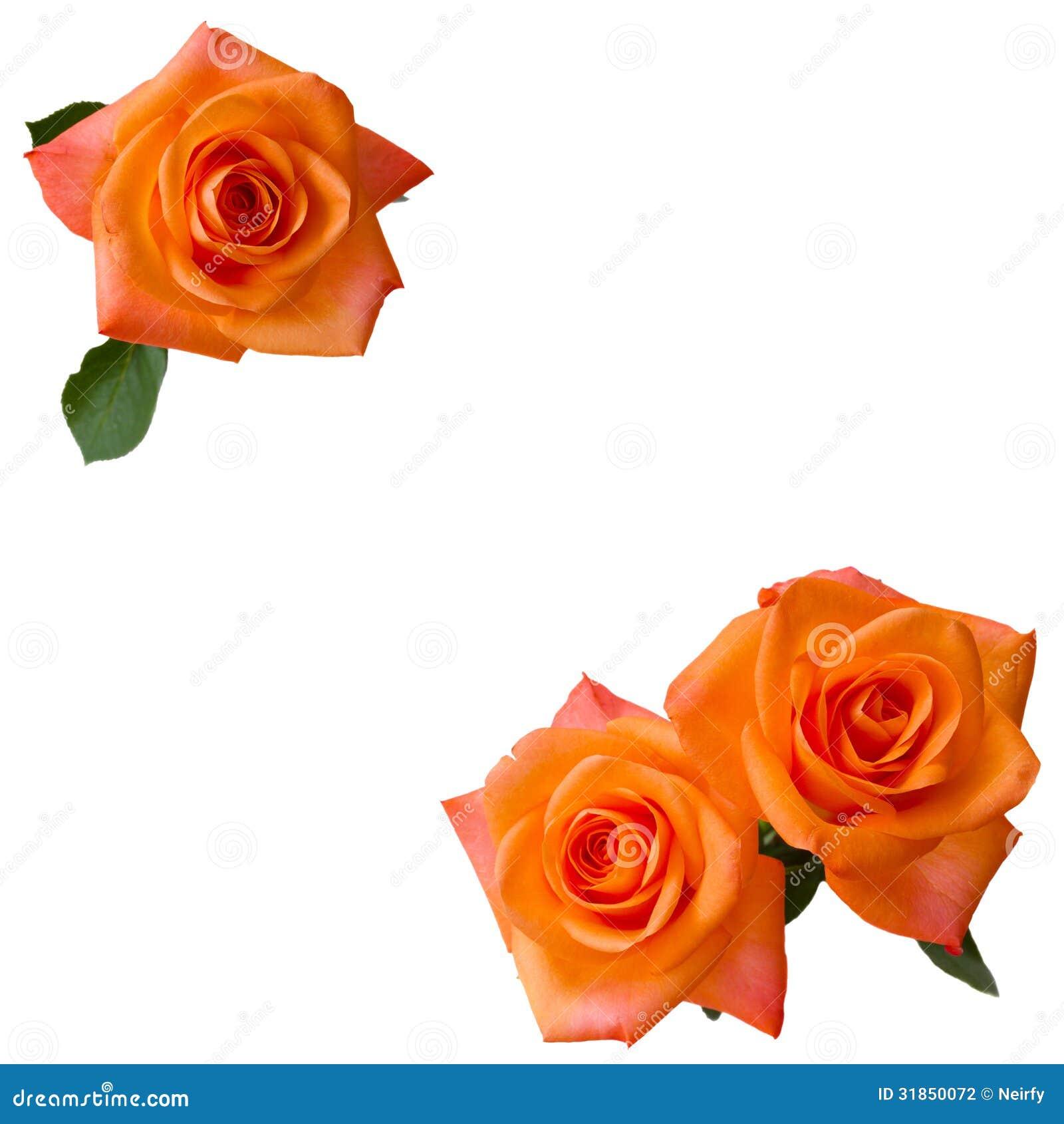 drei orange rosen stockfotografie bild 31850072. Black Bedroom Furniture Sets. Home Design Ideas