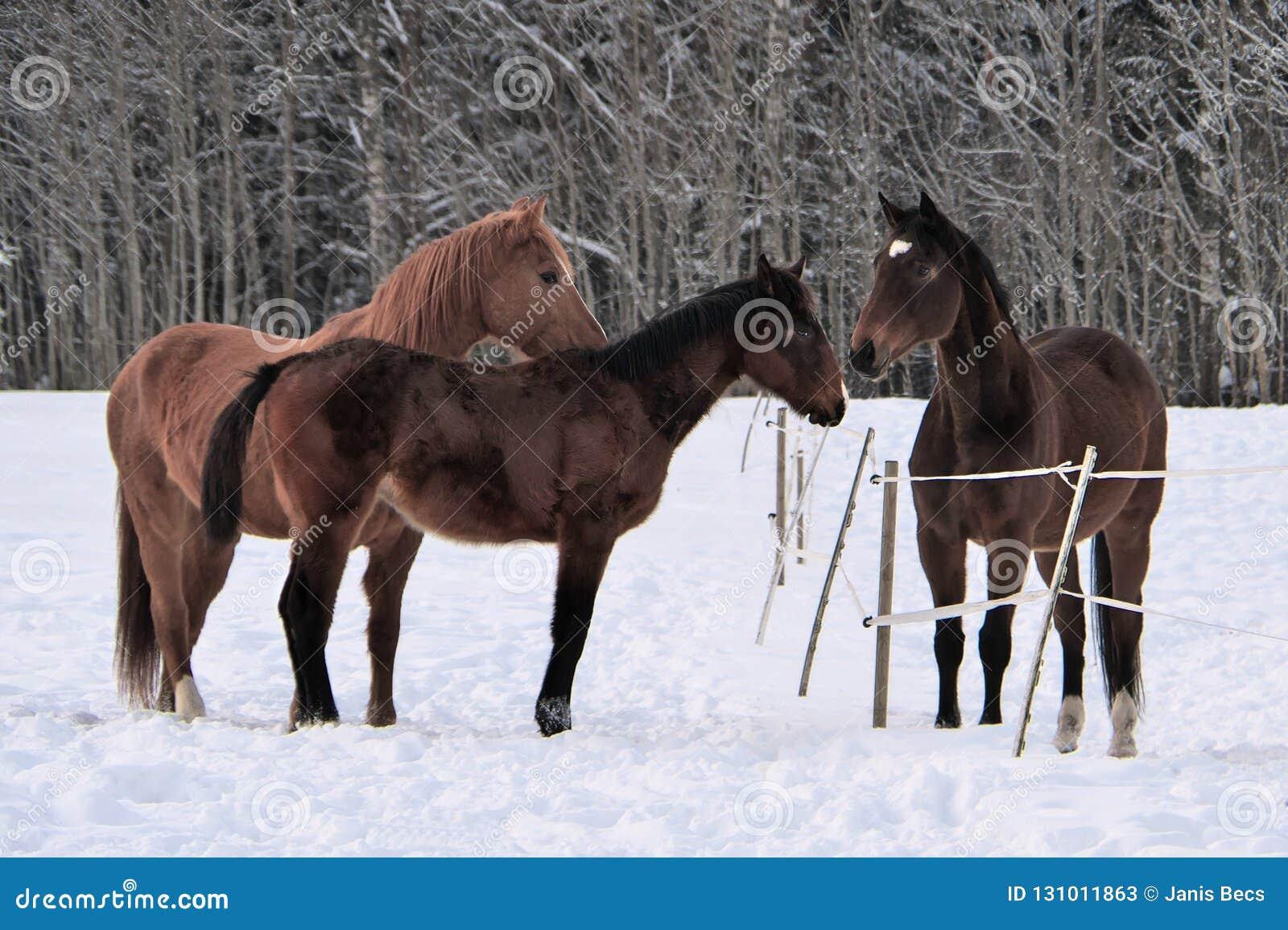 Drei Pferde, die Wintermäntel in Schnee bedeckter Koppel tragen