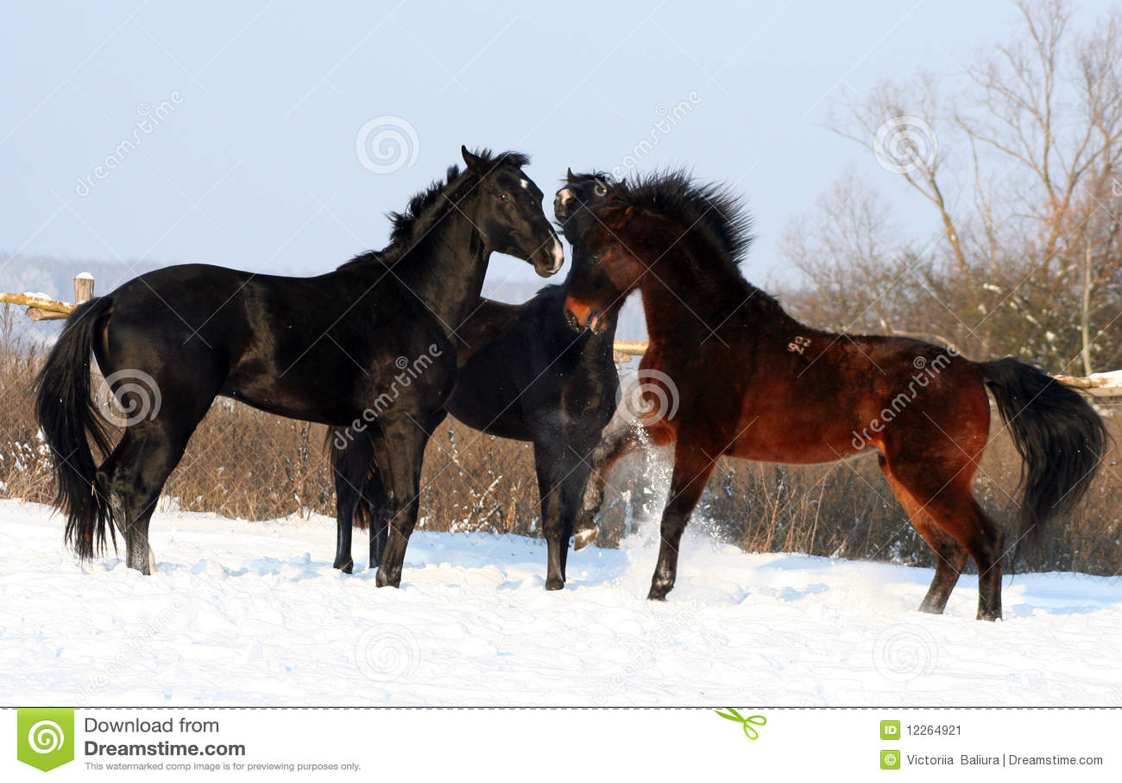 drei pferde im schnee stockbild bild 12264921. Black Bedroom Furniture Sets. Home Design Ideas