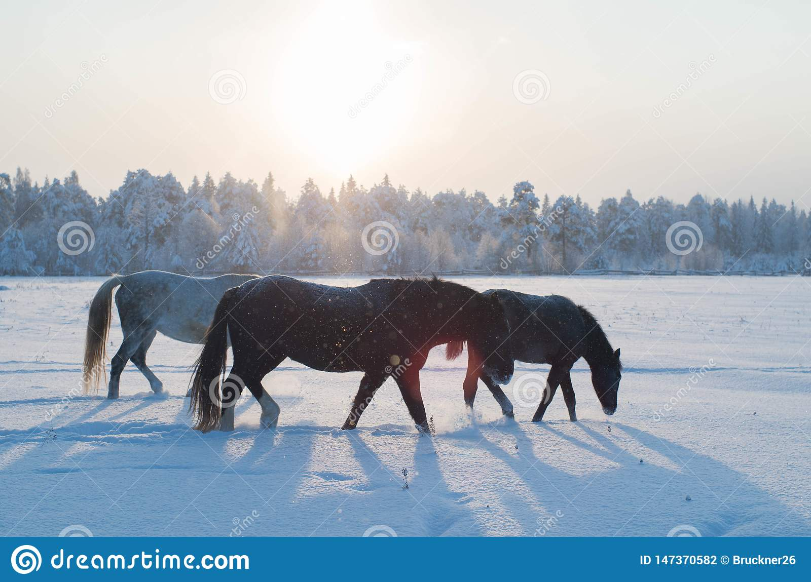 Drei Pferde im Winter