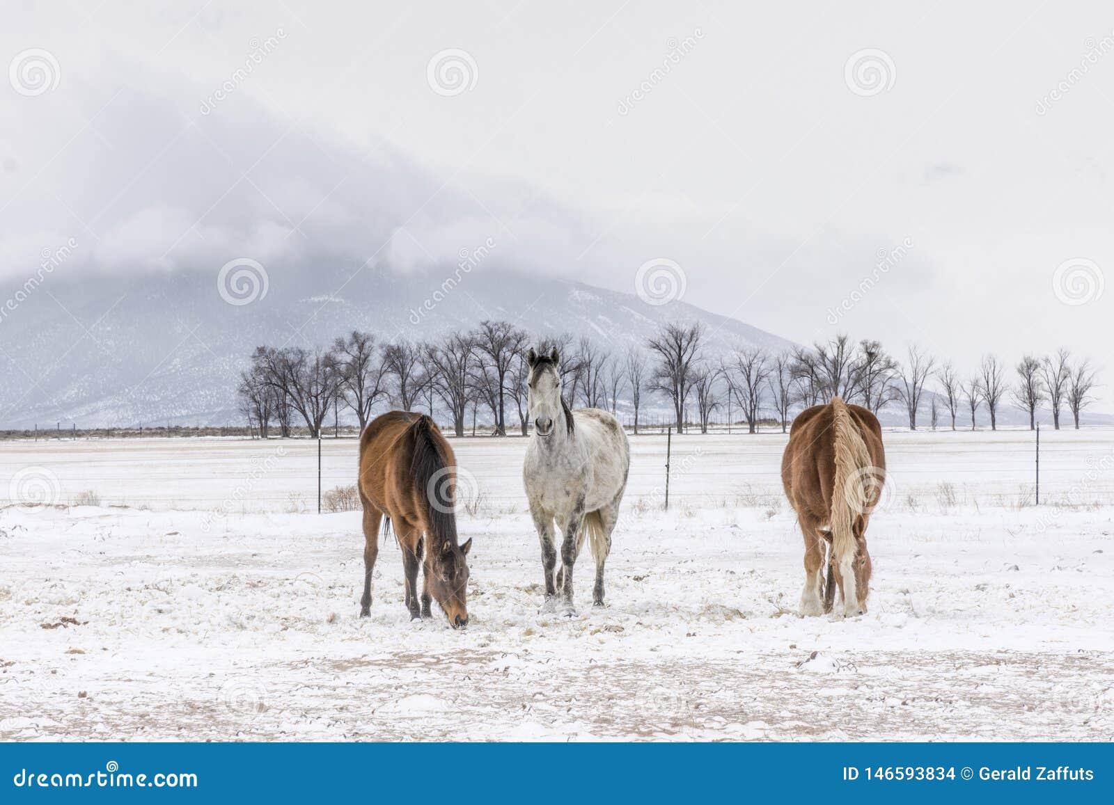 Drei Pferde mit Uteberg im Winter