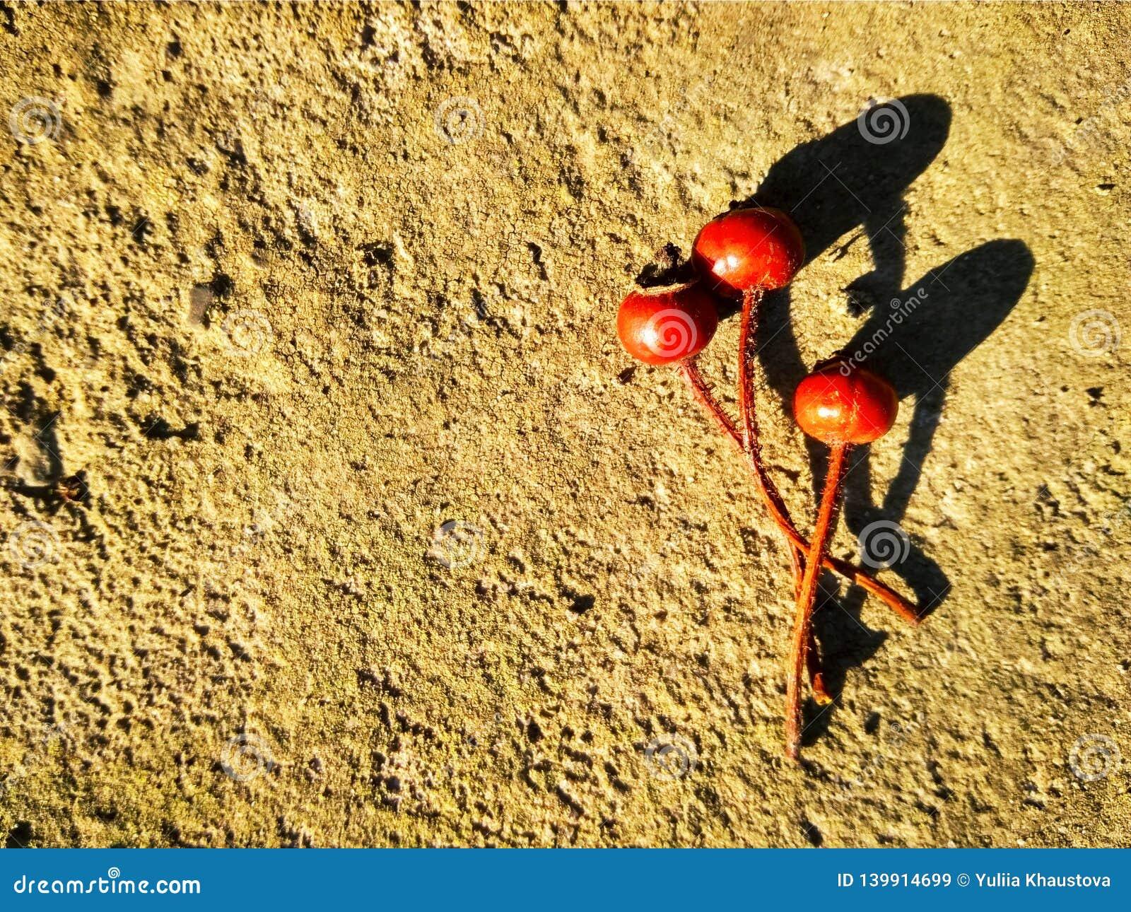 Drei rote trockene Hagebutten auf Beton