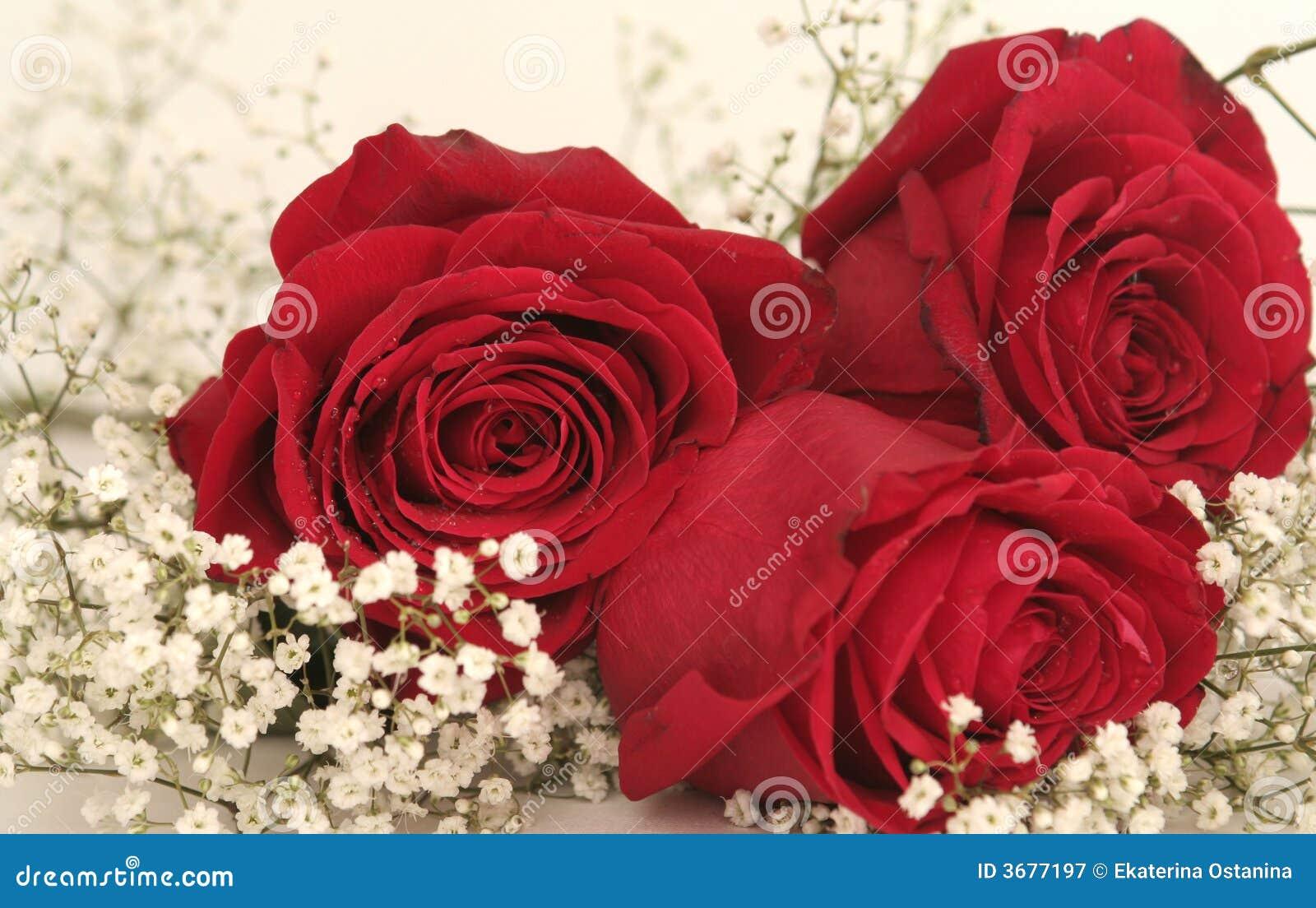 Drei schöne rote Rosen