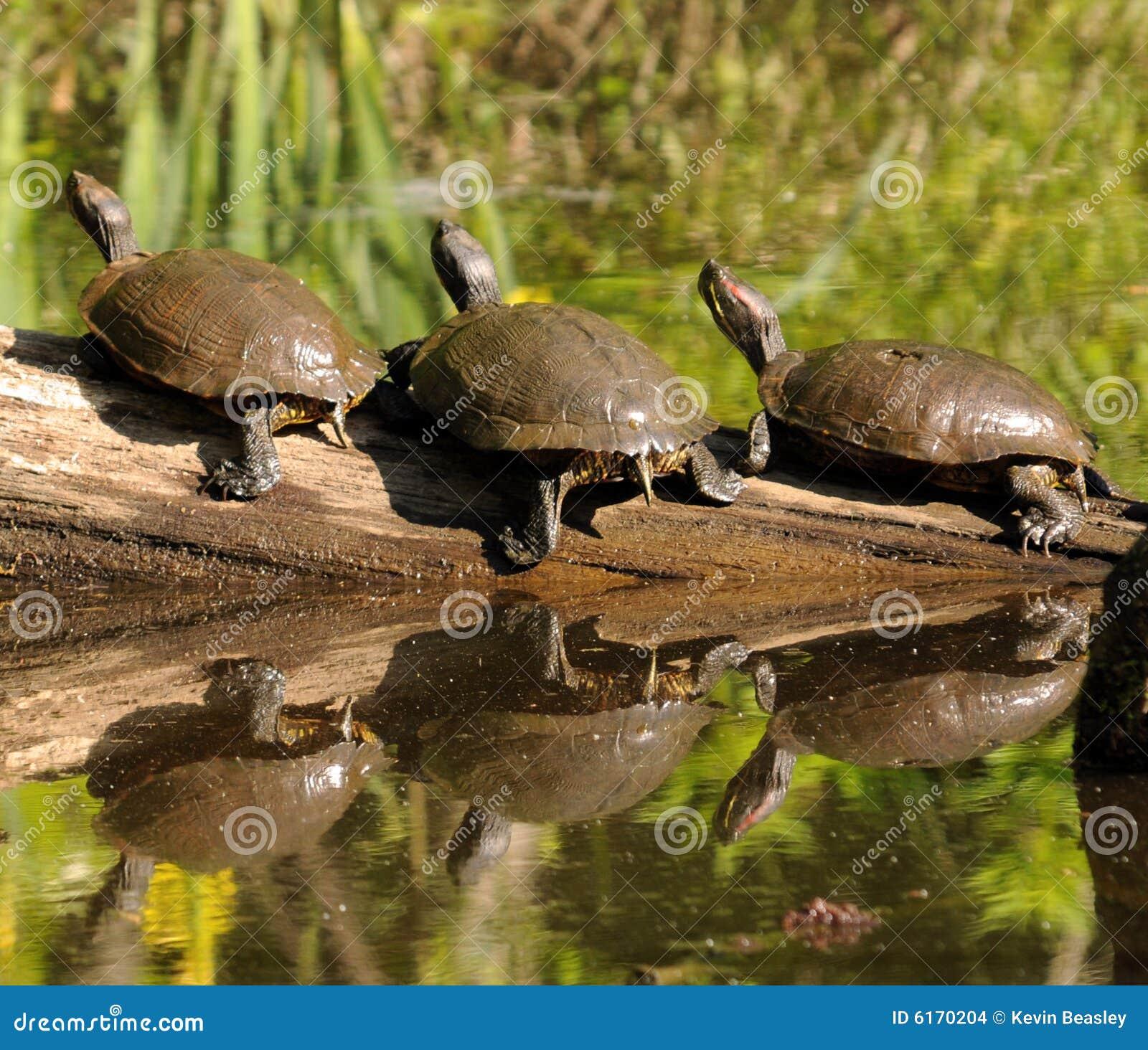 Drei Schildkröten auf einem Protokoll