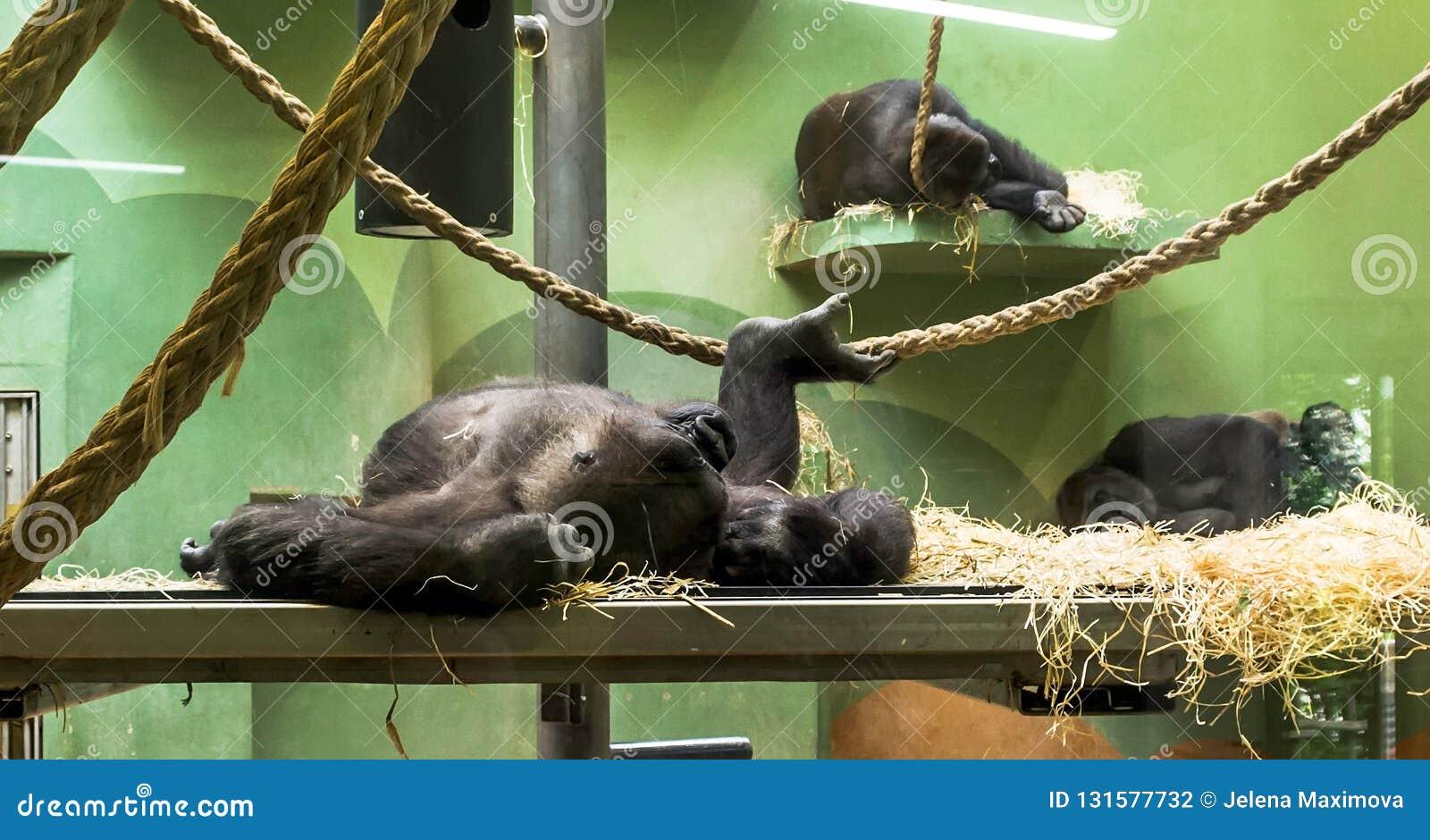 Drei Schlafenwesttieflandgorillas