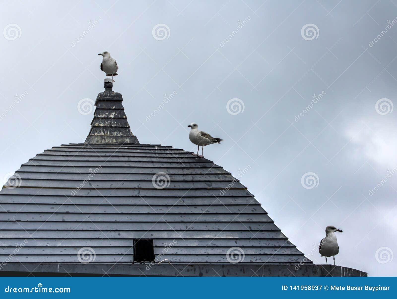 Drei Seemöwen, die auf Godot auf einer hölzernen Dachspitze auf einer grauen, neutralen Welt warten
