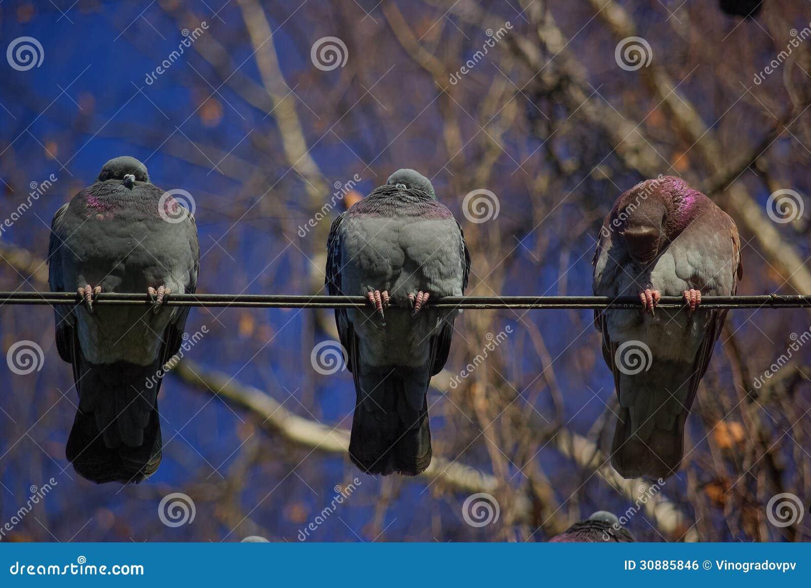 Drei Tauben Auf Einem Draht Stockfoto - Bild von wildnis, hecks ...