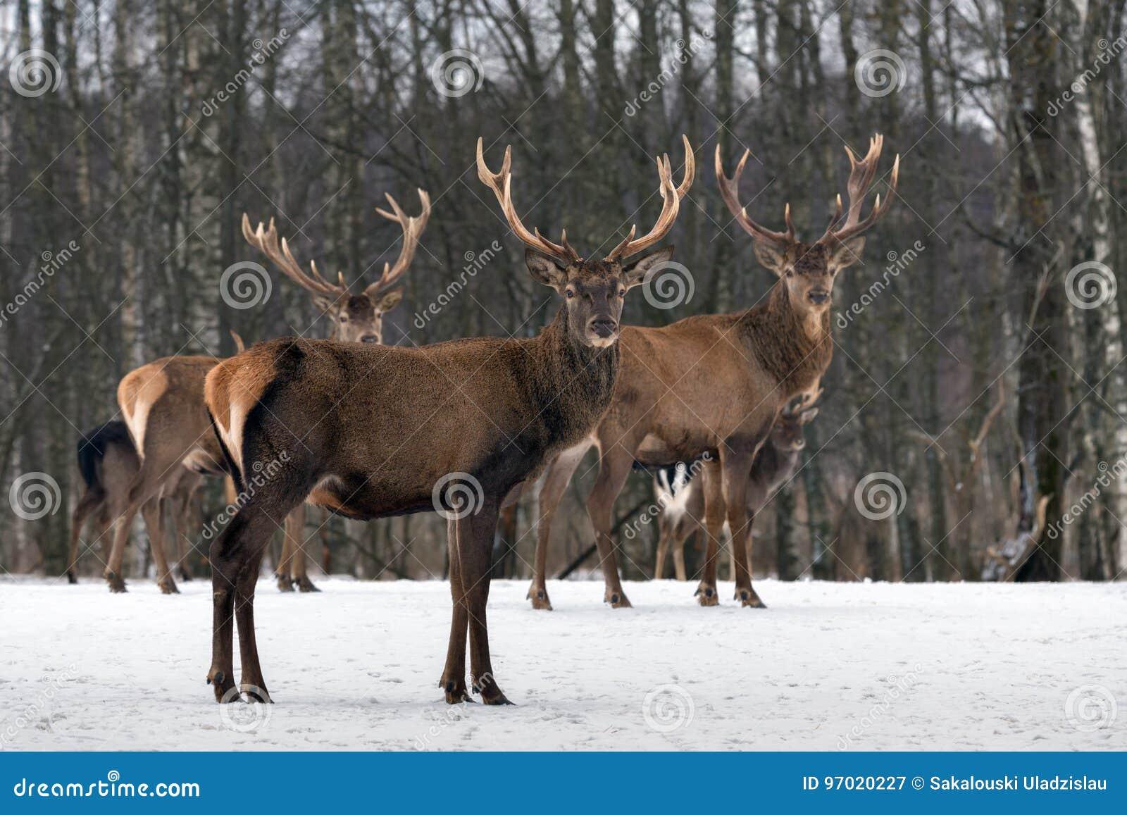Dreiergruppen Drei Rotwild Cervus Elaphus, Cervidae, Majestätisches erwachsenes Tier im Winter-Wald, Weißrussland Tierszene der w