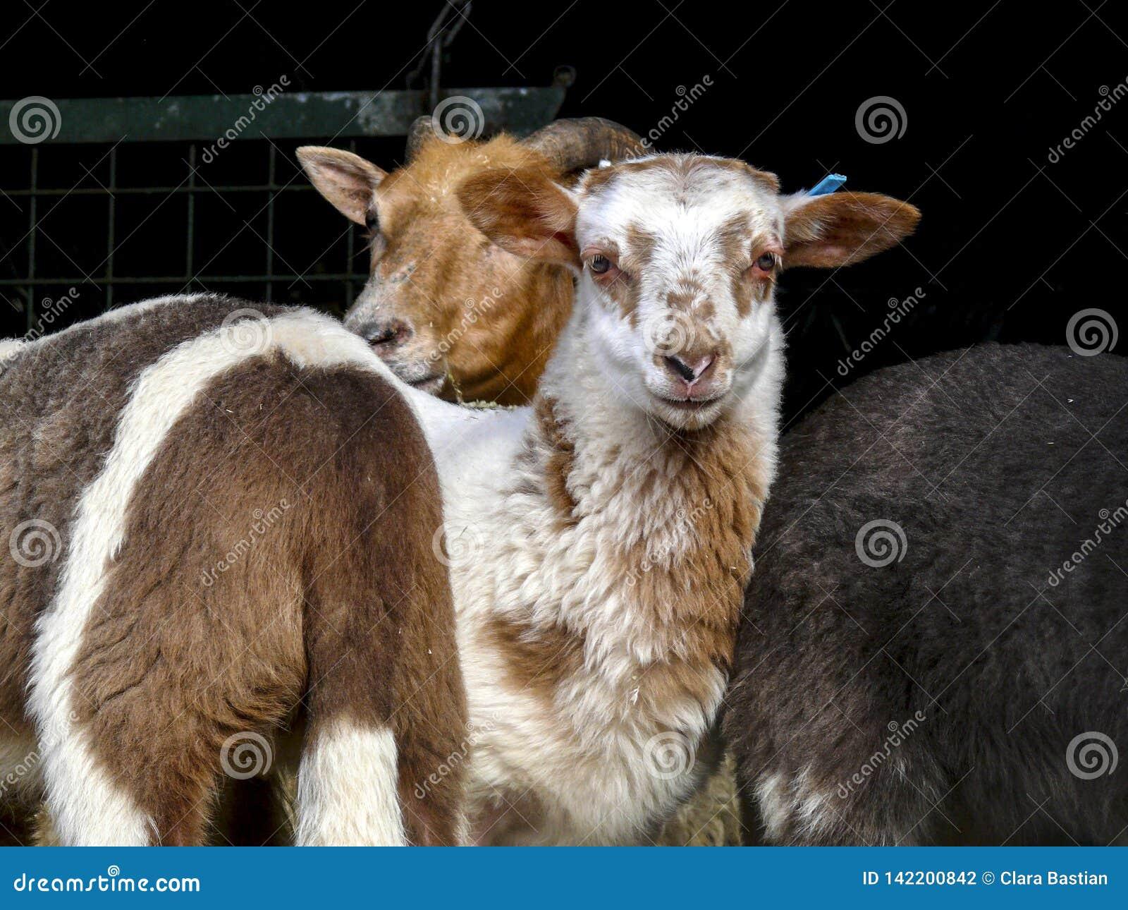 Drent Heath Lamb, får som framme står av ett staket, aka: Drents heideschaap