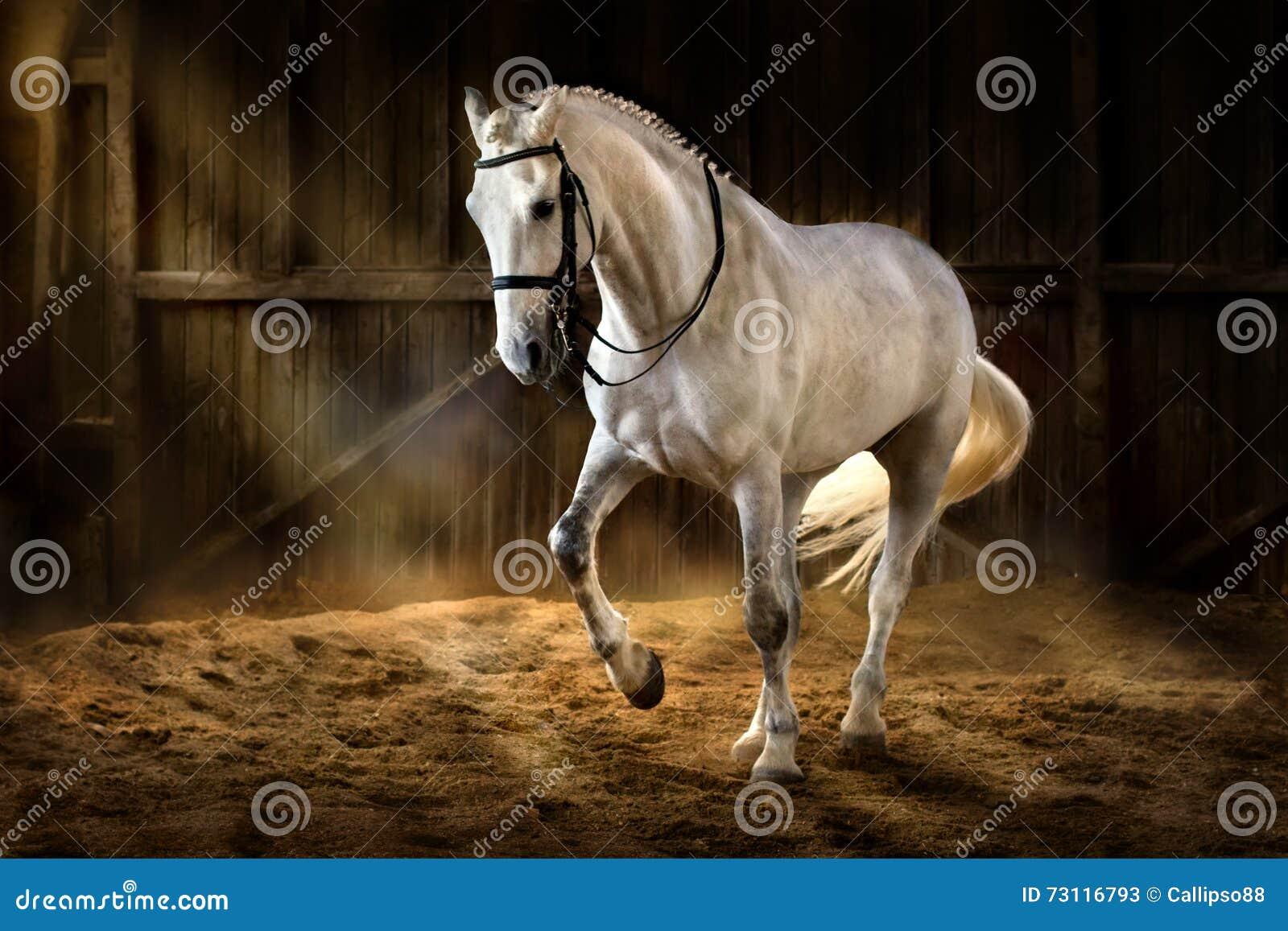 Dressage белой лошади