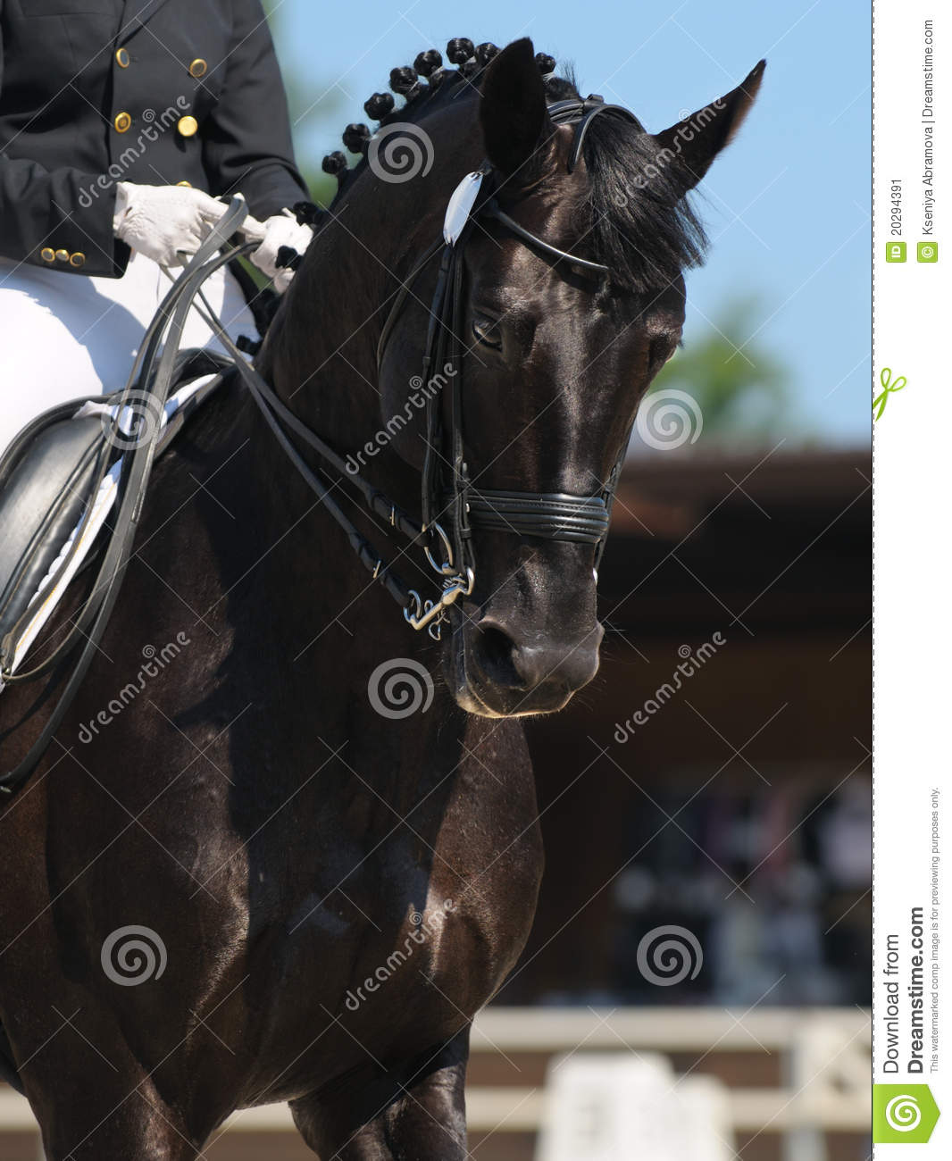 Dressage Portrait Of Black Horse Stock Image Image Of Training Portrait 20294391