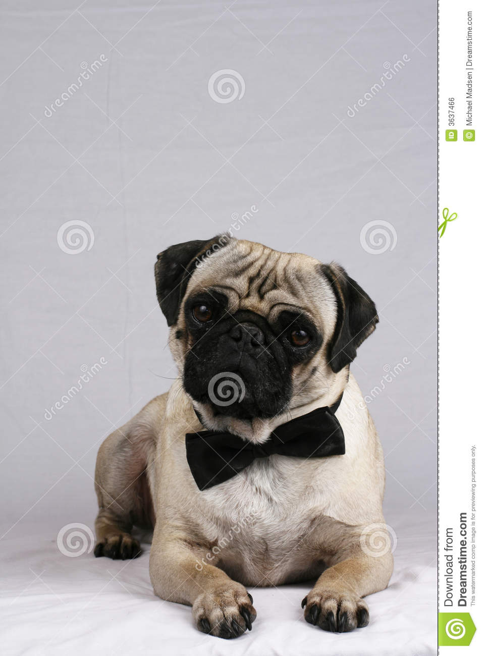 Cost U Less >> Dressed up Pug stock photo. Image of black, space ...