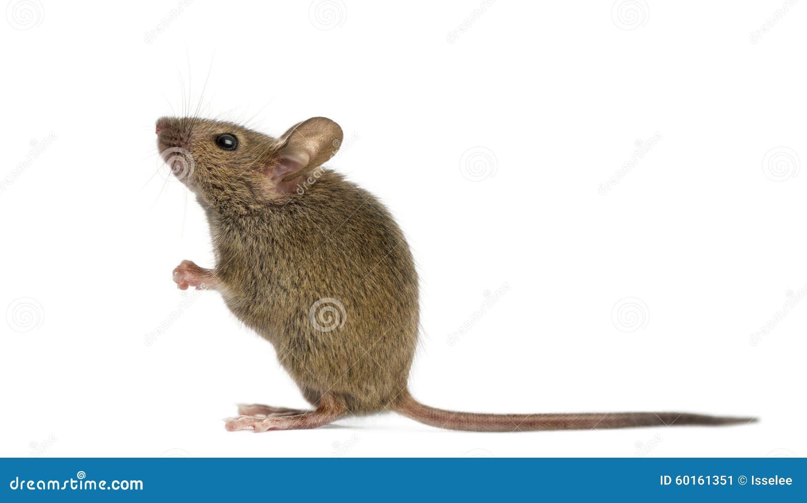 Drewniana mysz
