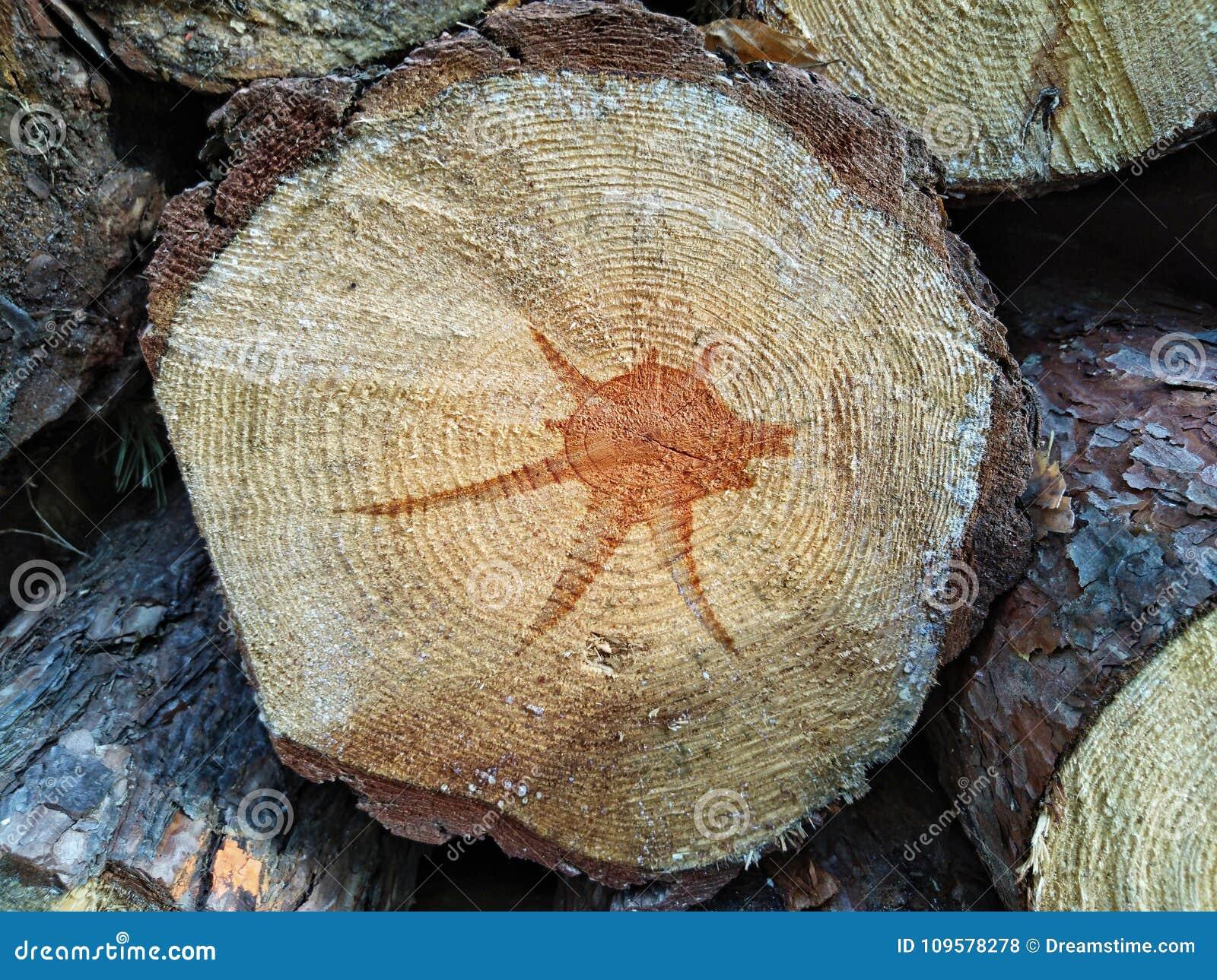 Drewniana tekstura rżnięty drzewny bagażnik