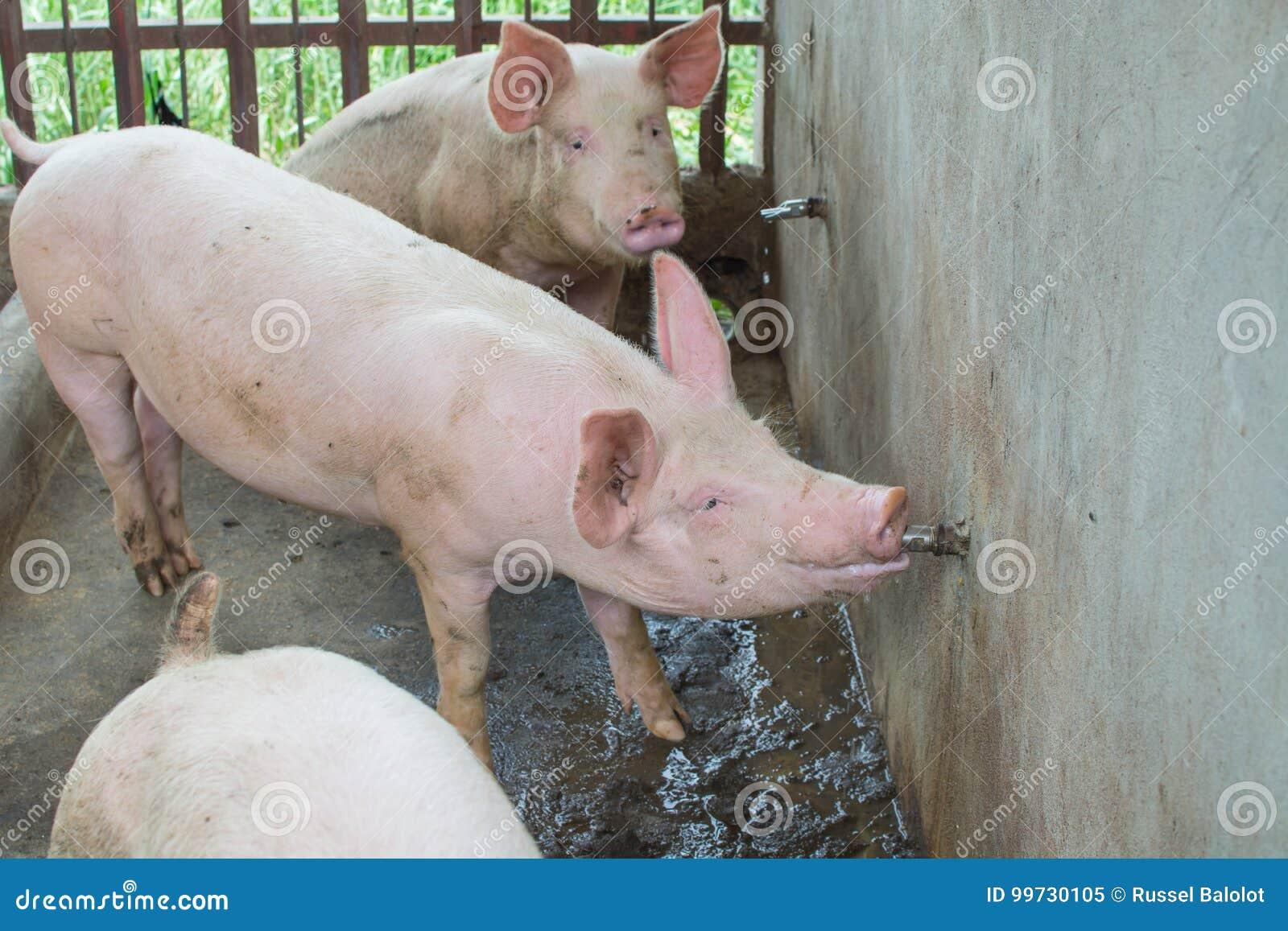 Dricka för svin