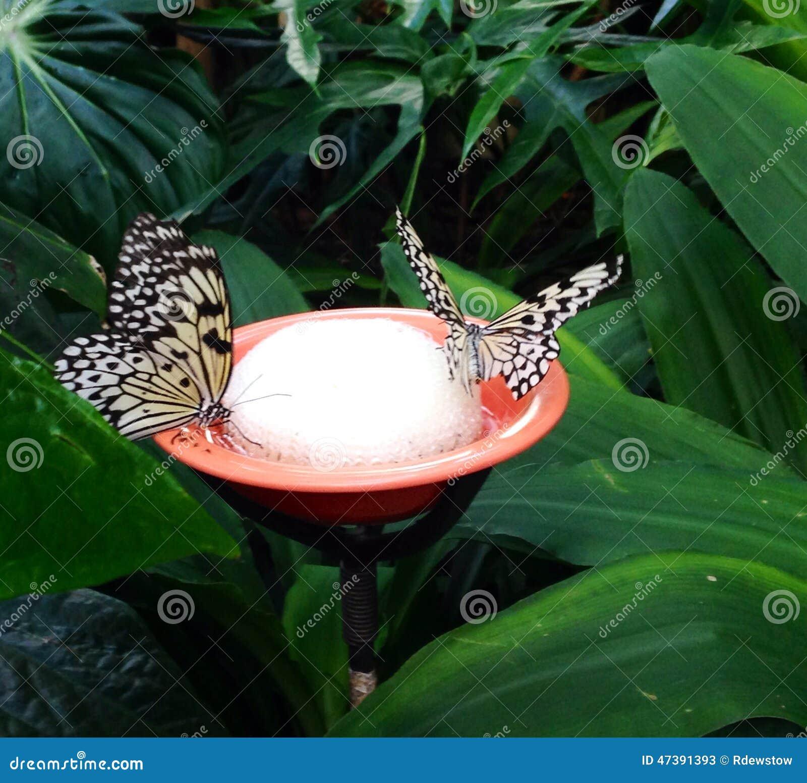 Dricka för två fjärilar