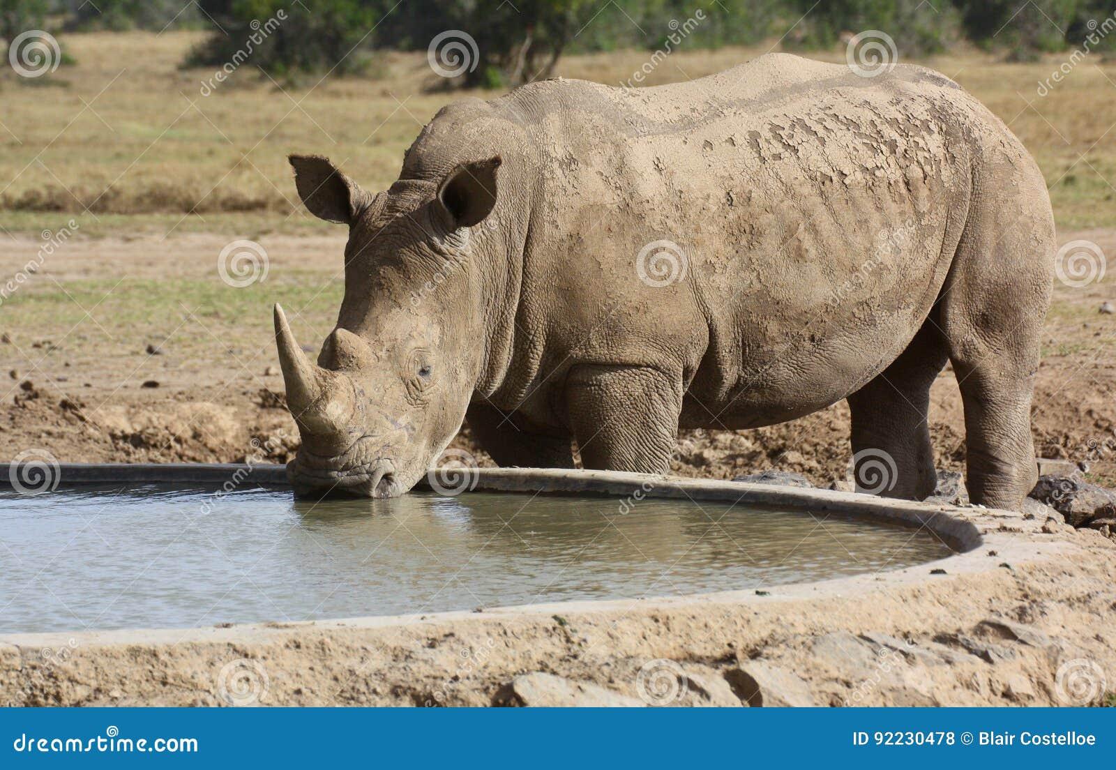 Dricka för vit noshörning