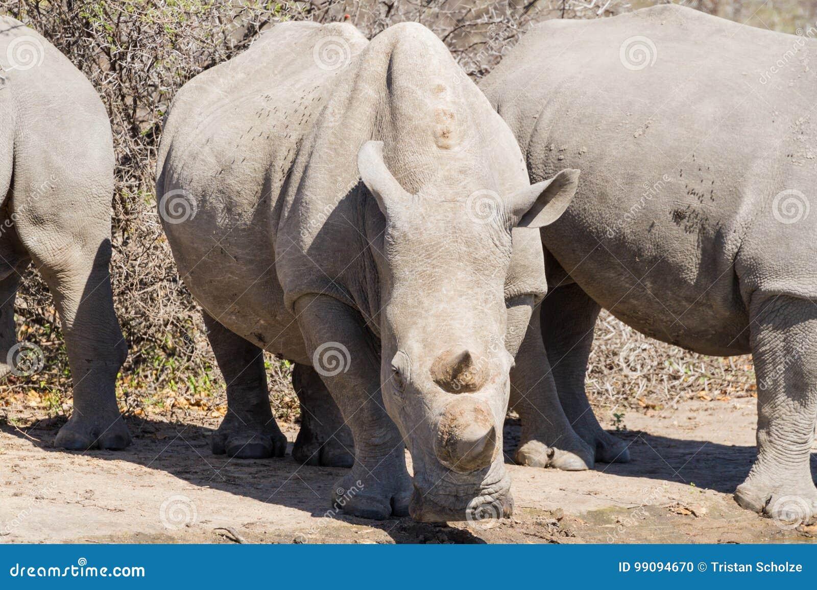Dricka noshörningwhite