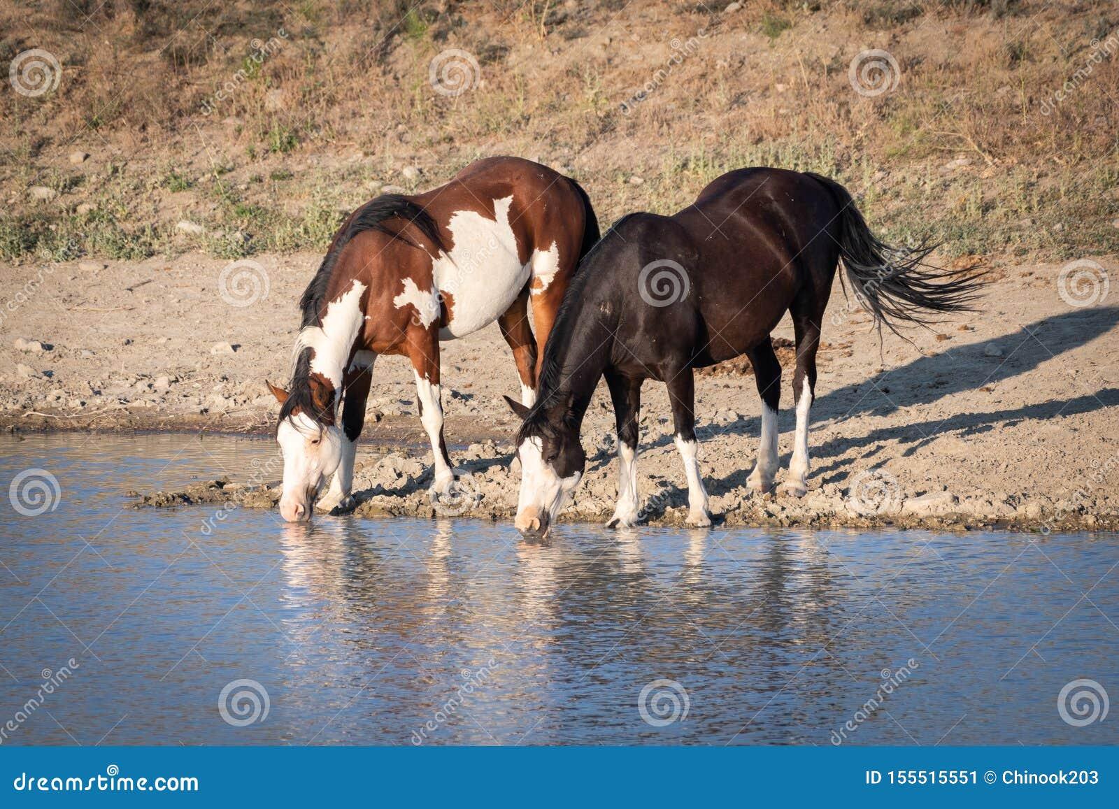 Dricksvatten för två vildhästar på ett damm