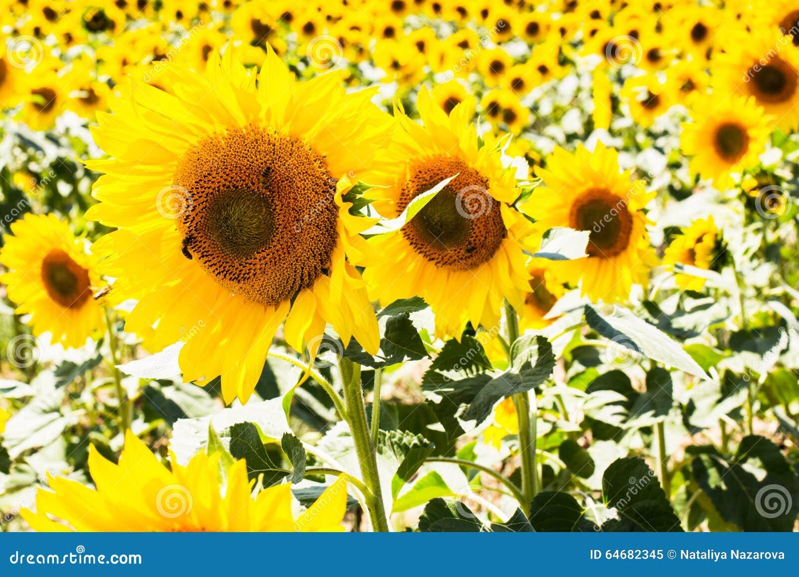 Drie dichte omhoog mooie zonnebloemen op een rij bij