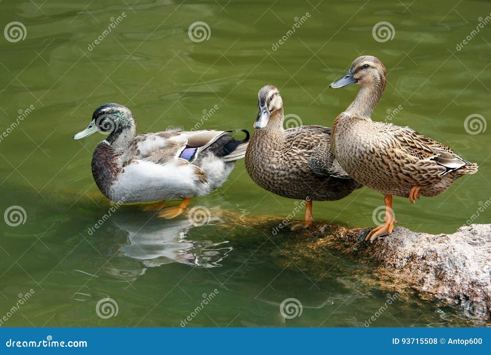 Drie eenden die zich op een steen door het water bevinden