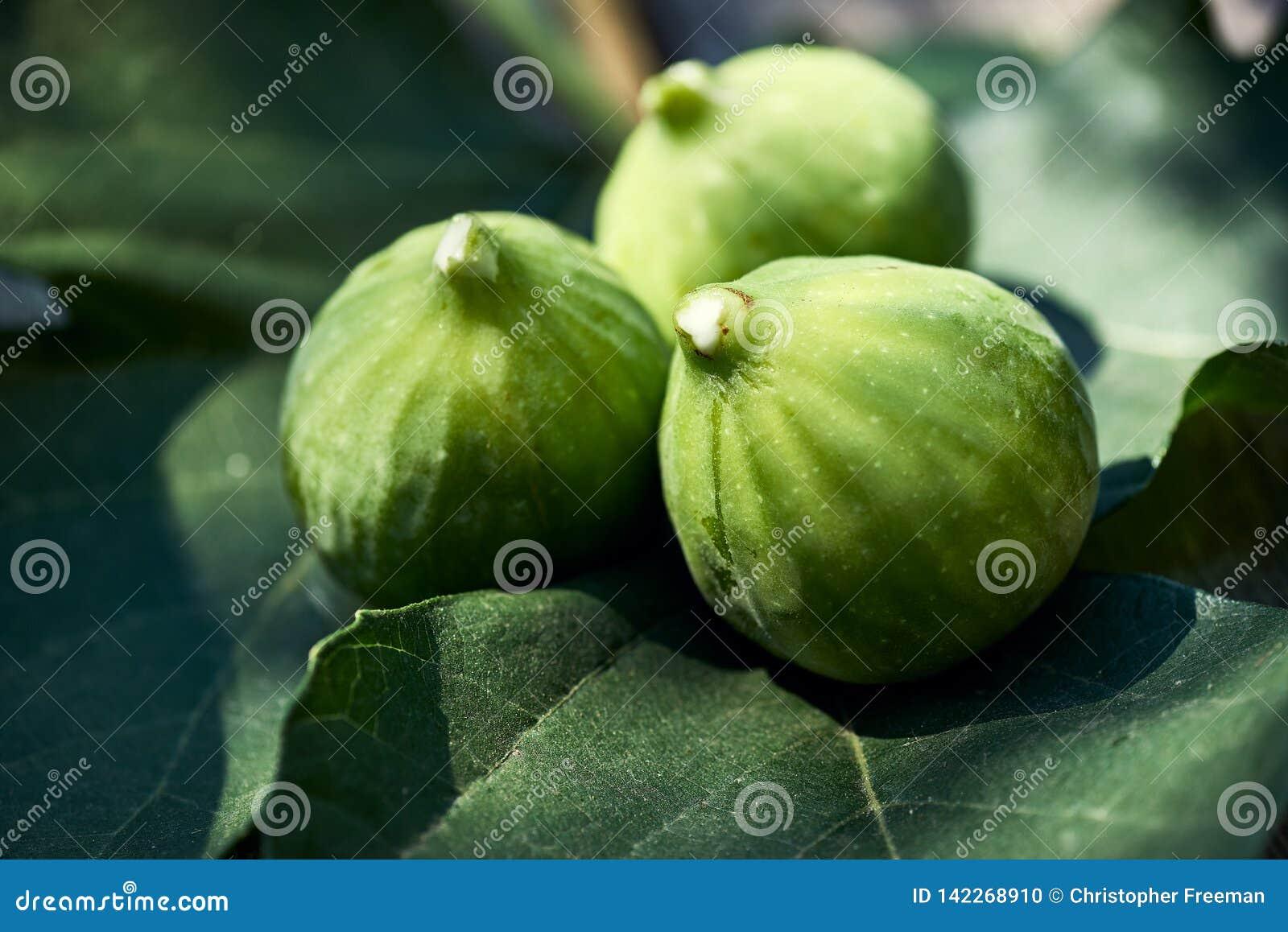 Drie fig. backlit op vijgebladen met wit sap op de uiteinden