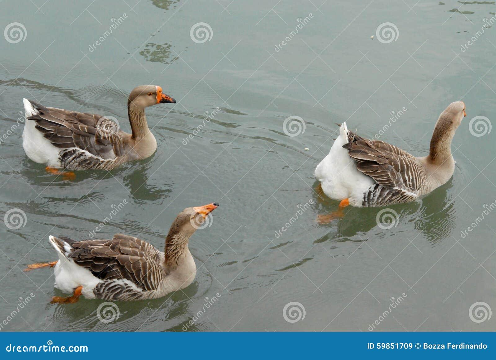 Drie ganzen die in Dolo in Brenta in de provincie van Venetië in Veneto zwemmen (Italië)