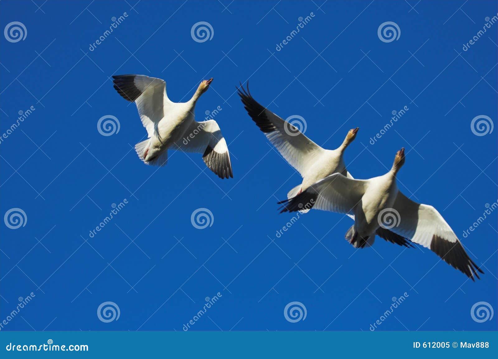 Drie ganzen het vliegen