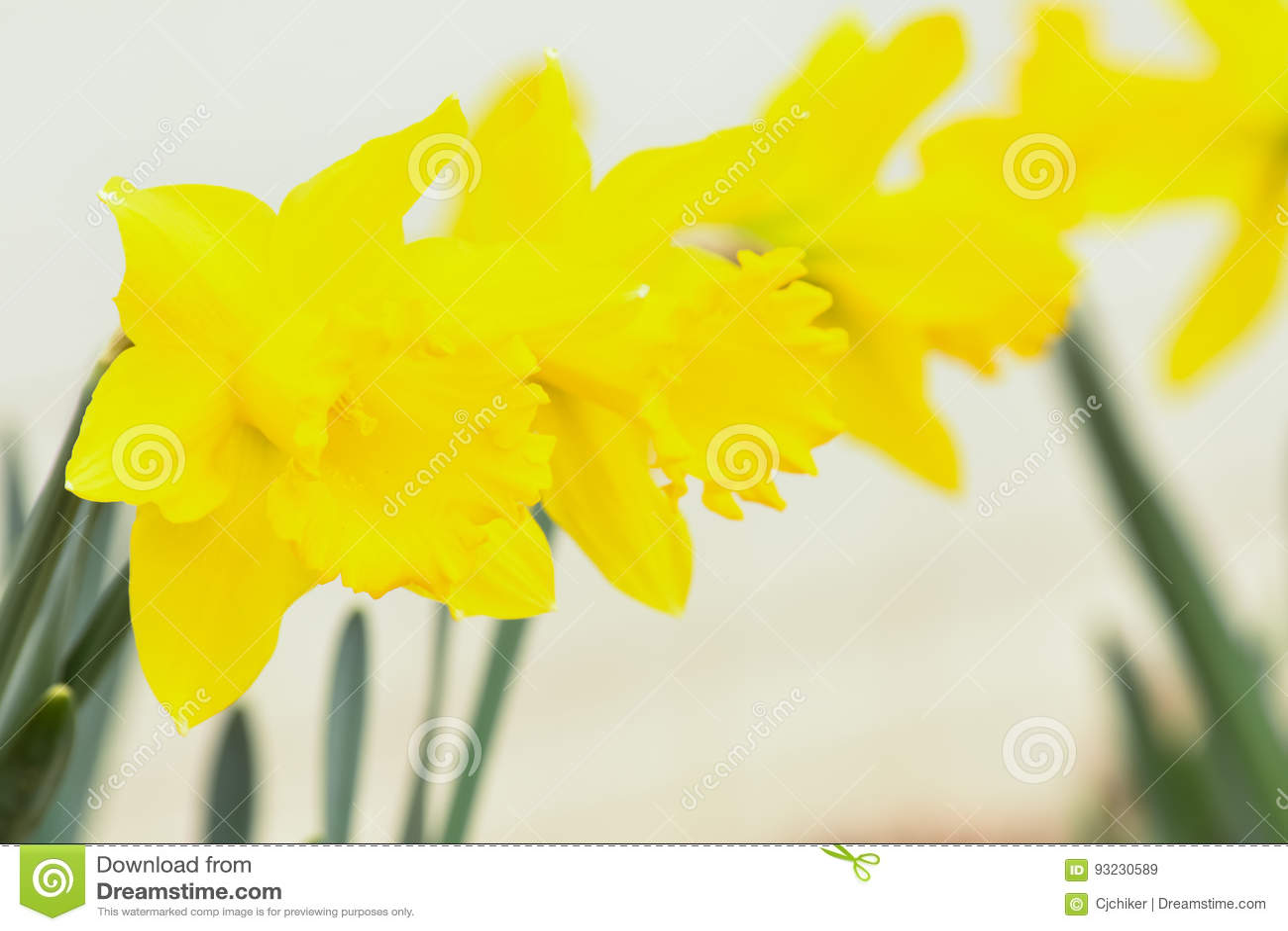 Drie gele narcissen
