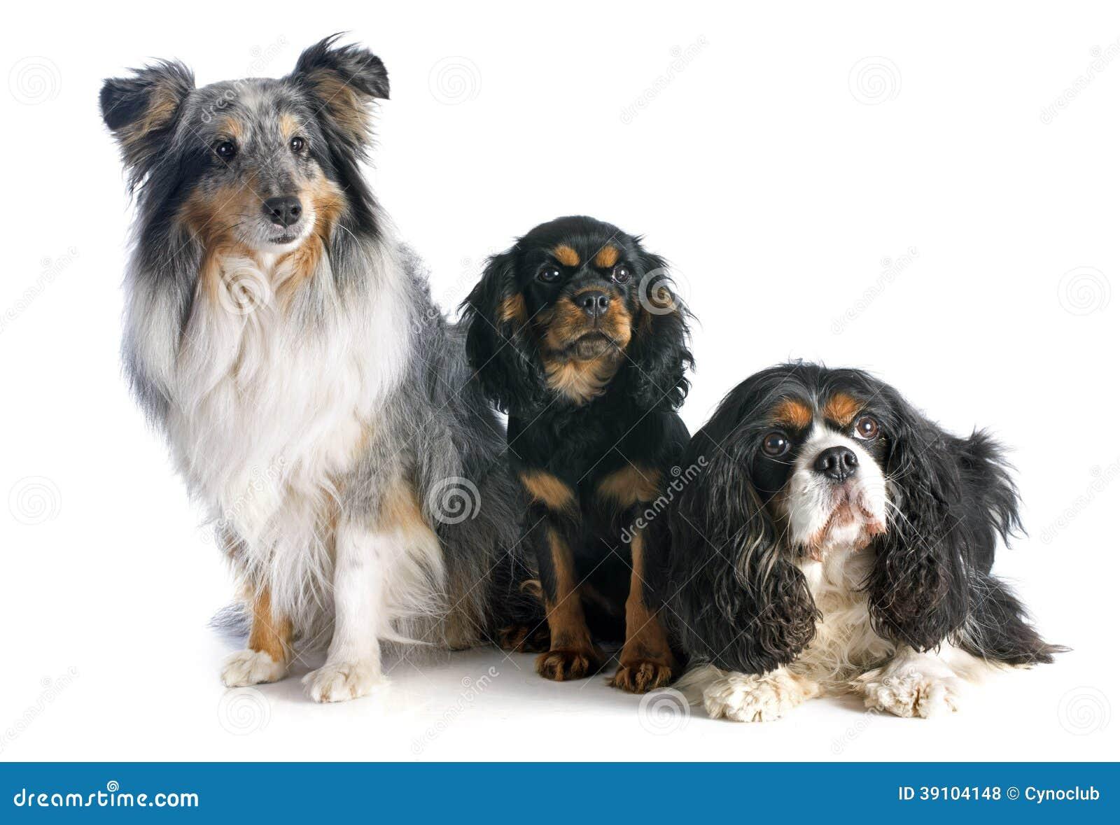 Drie honden