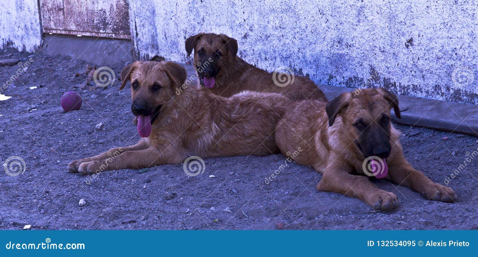 Drie honden die aan de camera kijken