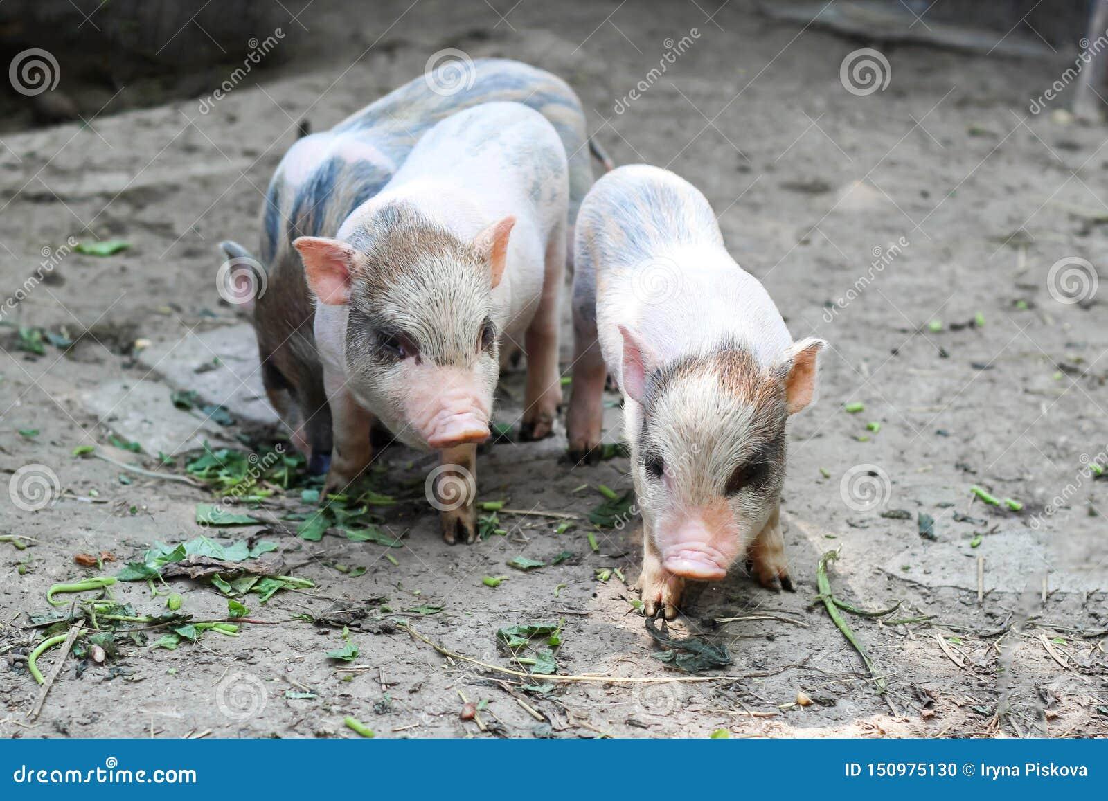 Drie kleine Vietnamese biggetjes op een landbouwbedrijf