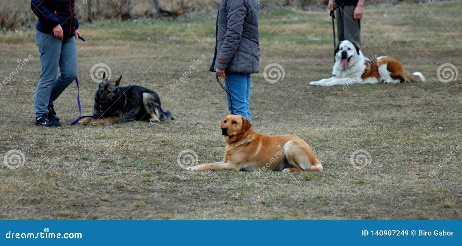 Drie leuke honden die op de grond leggen, die in hond-school leren