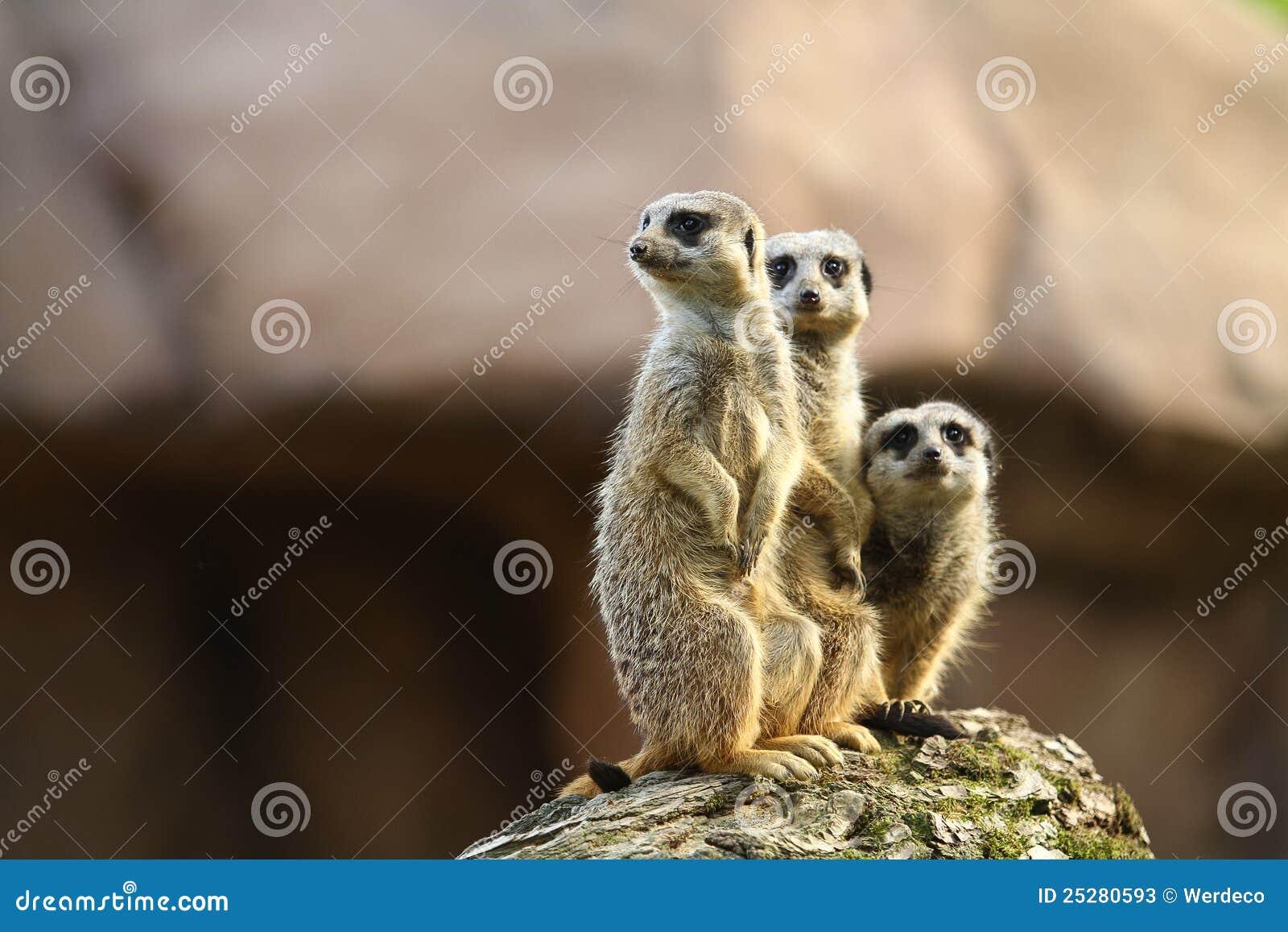 Drie meercats op een vooruitzicht