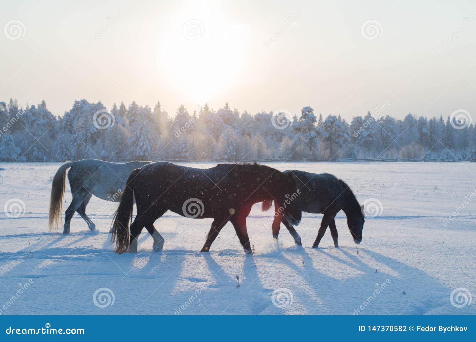 Drie paarden in de winter