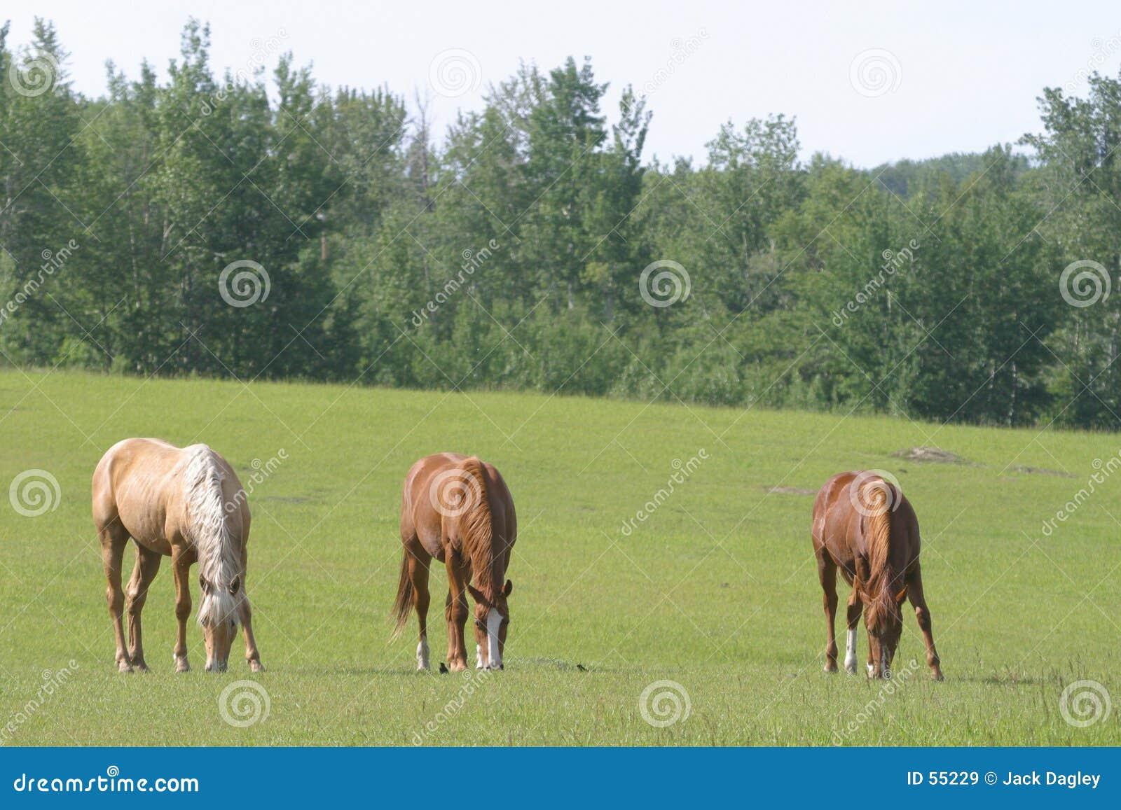 Drie paarden het weiden