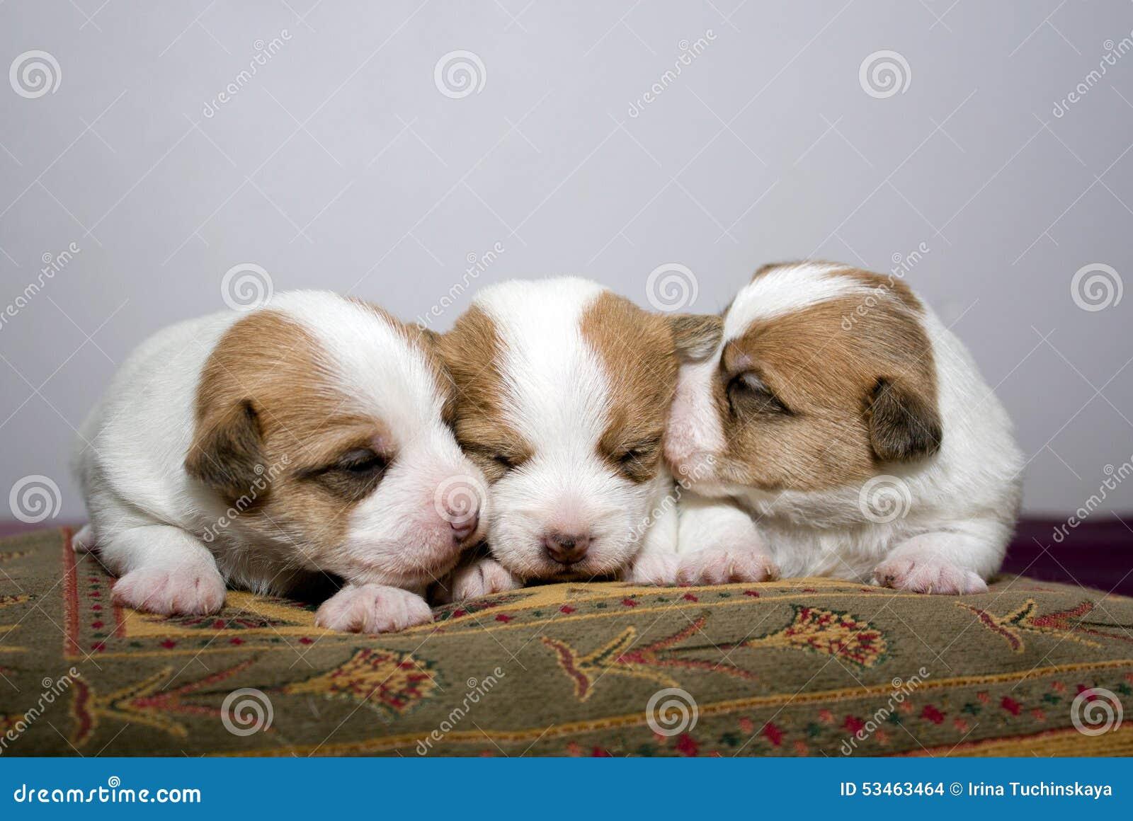 Drie Pasgeboren Jack Russel Puppies Stock Foto - Image of zacht, blindheid:  53463464