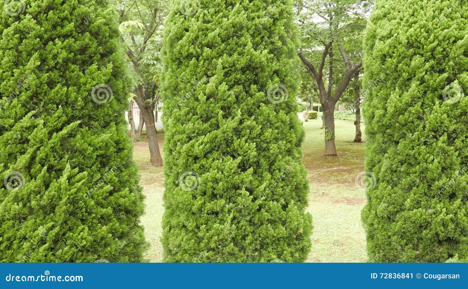Bomen In Tuin : Drie pijnboom groene bomen in tuin stock afbeelding afbeelding