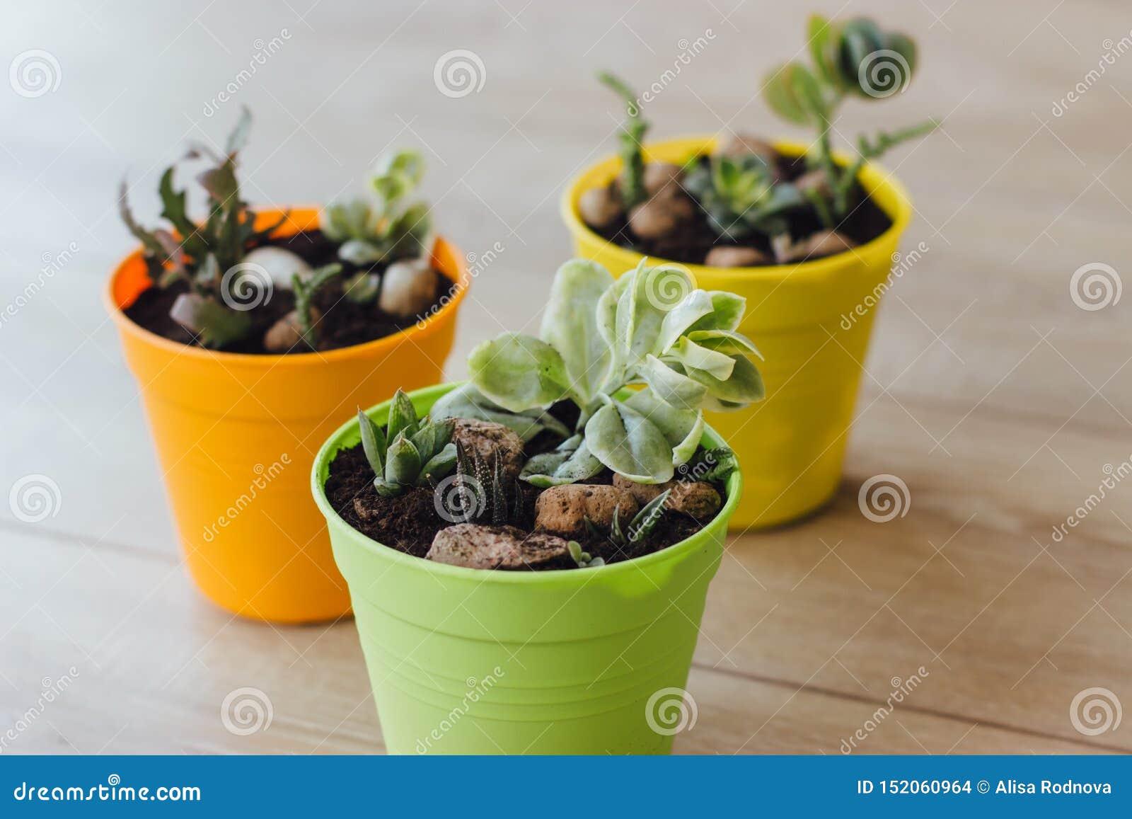 Drie potten van succulents op de vloer