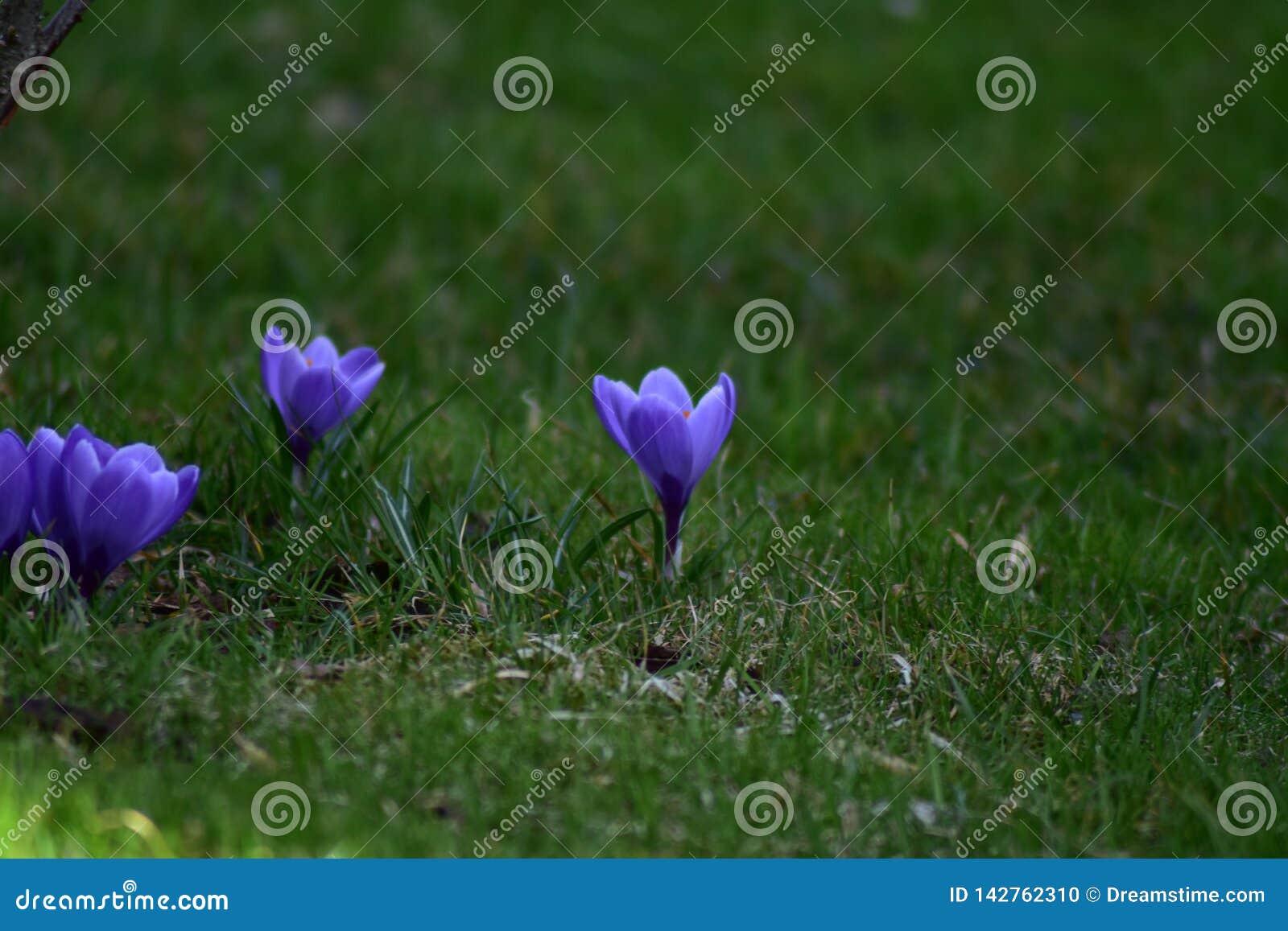Drie purpere bloemen in een tuin
