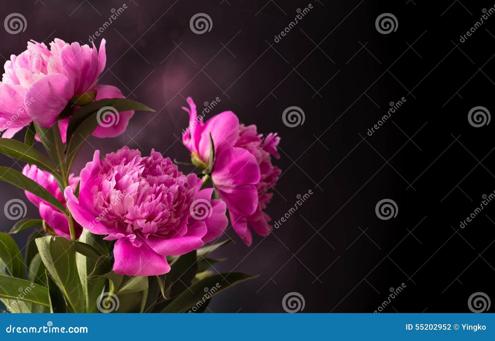 Drie roze pioenbloem op donkere achtergrond