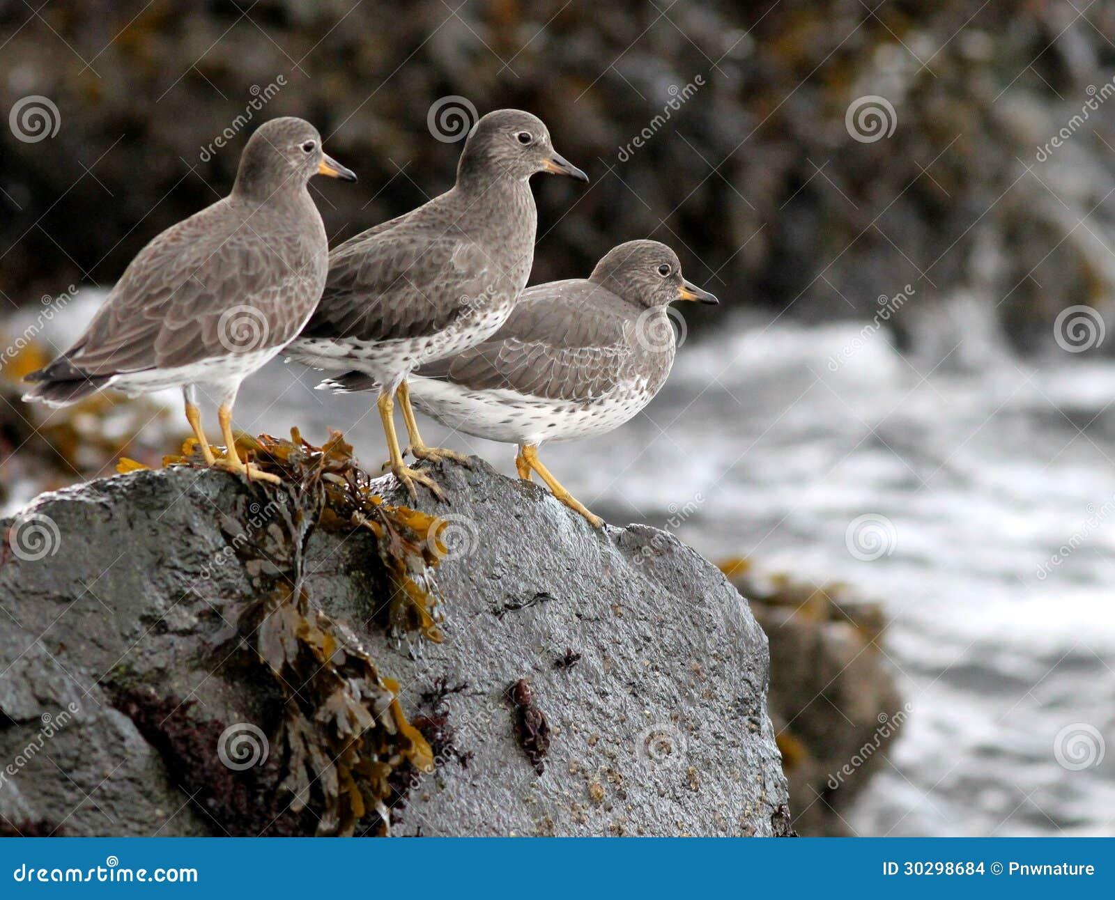 Surfbirds op een Rots
