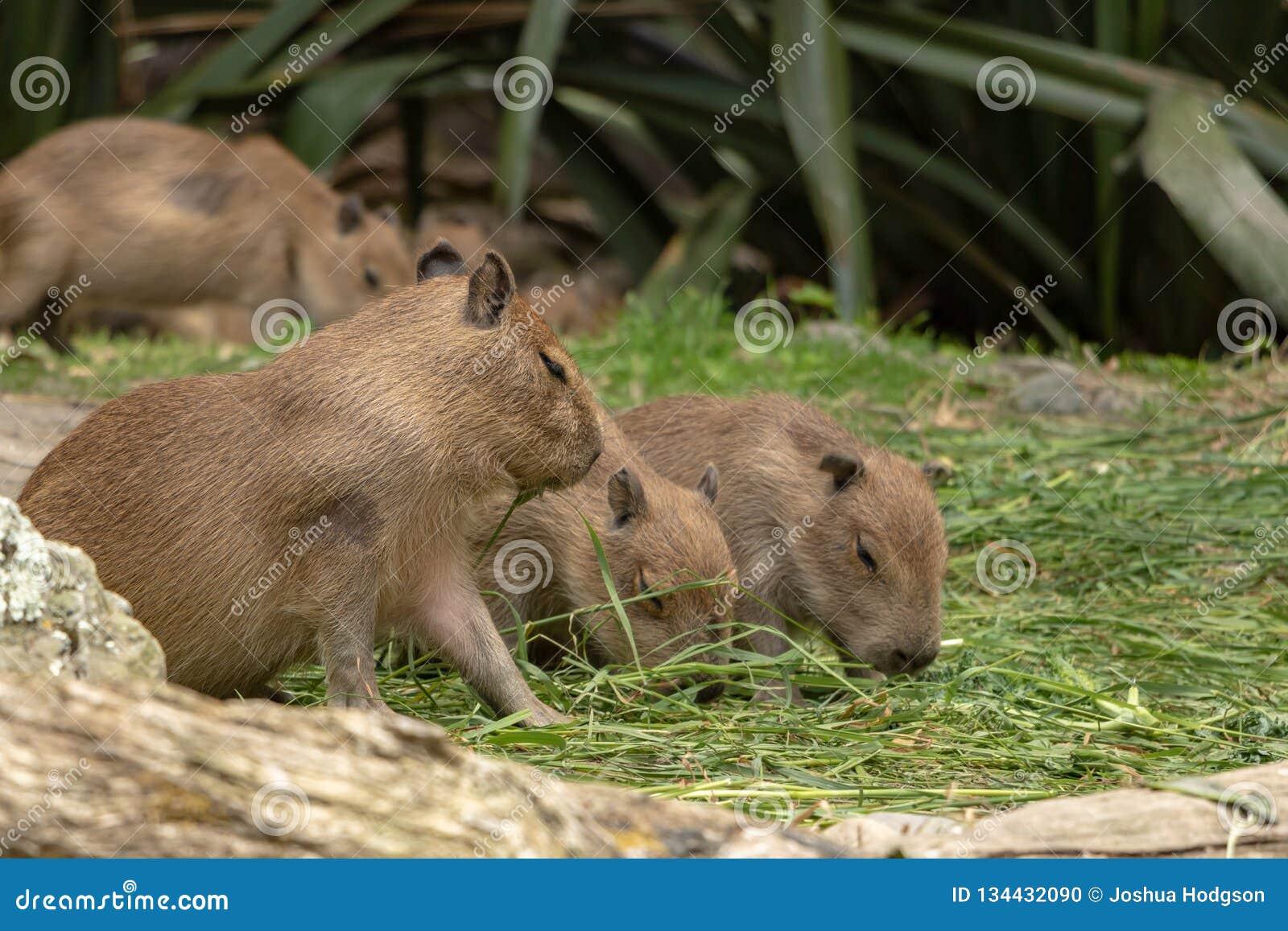 Drie voedende Leuke Baby Capybara