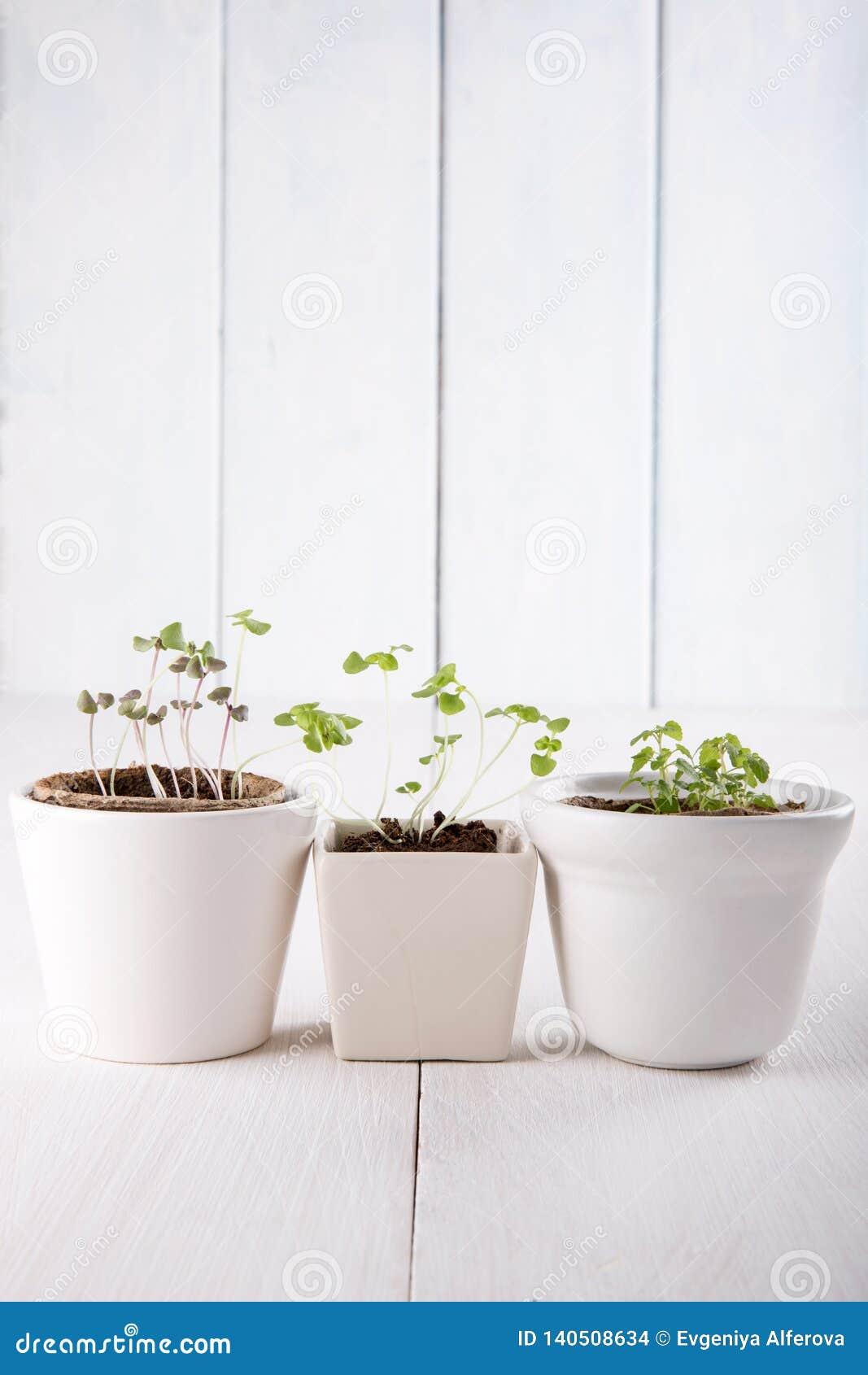 Drie witte bloempotten met kleine groene spruiten van basilicum en munt