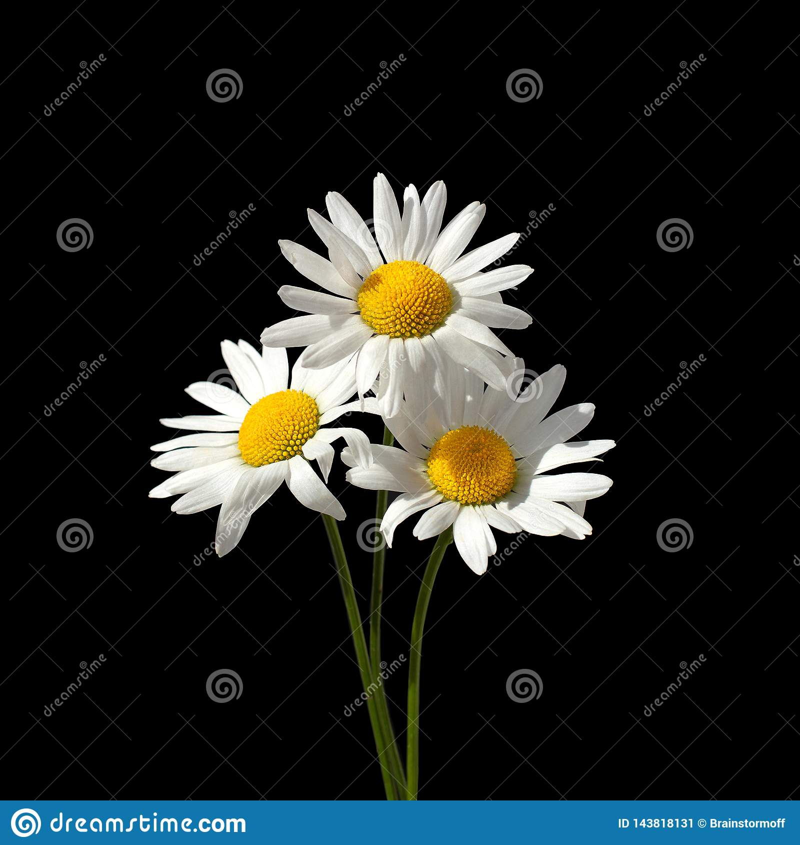 Drie witte kamillebloemen op een zwarte close-up als achtergrond die in vierkant wordt geïsoleerd